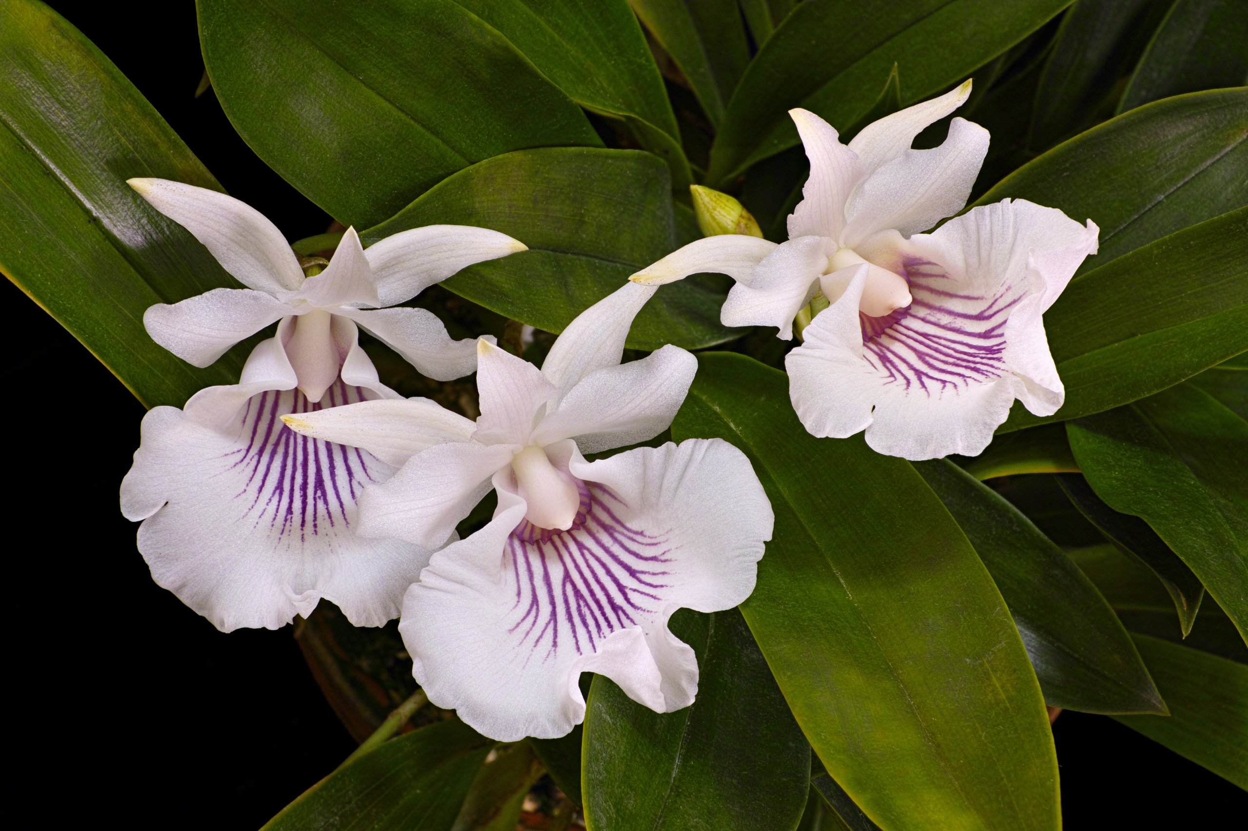 Cochleanthes amazonica flowers.jpg