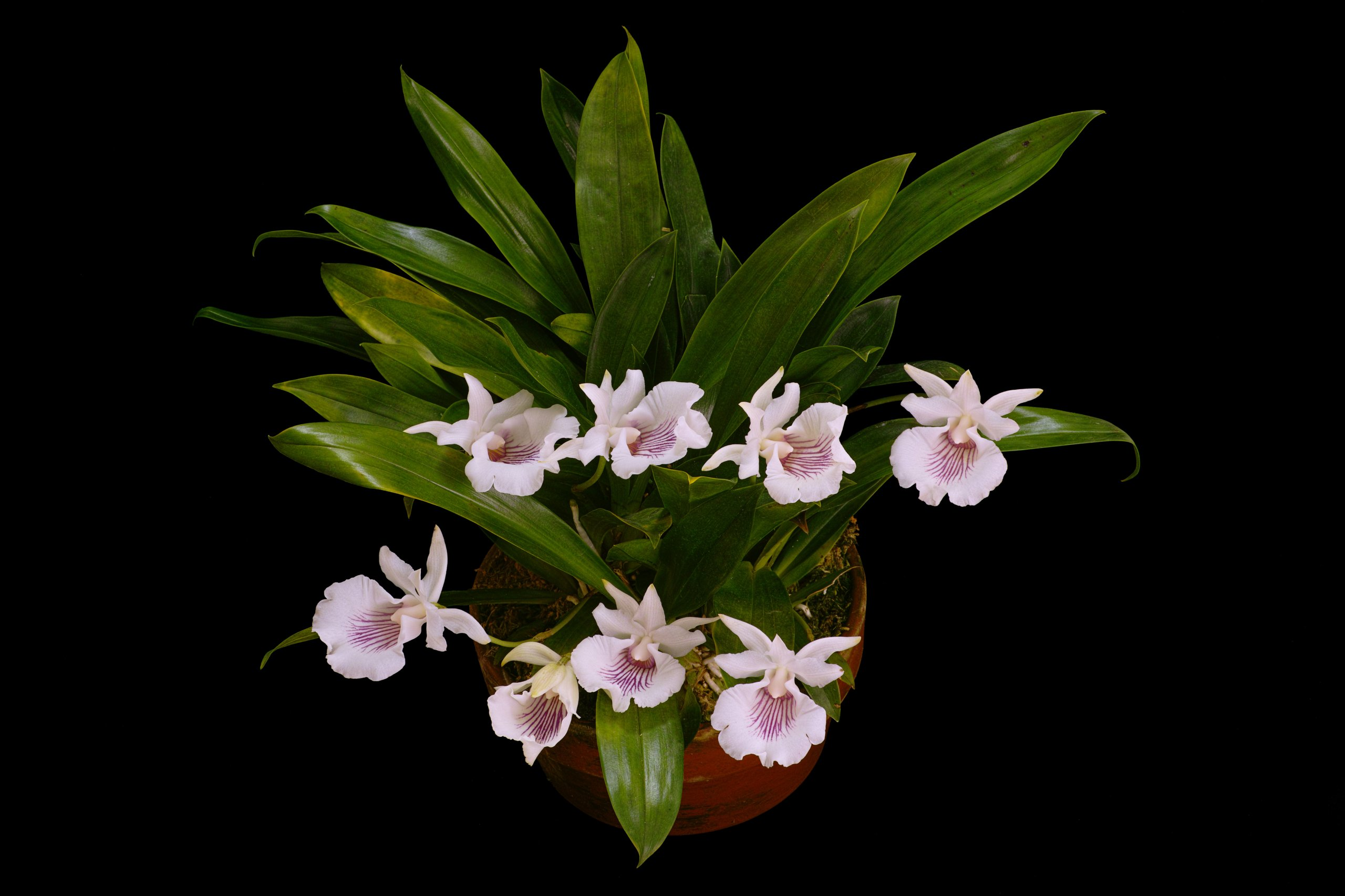 Cochleanthes amazonica.jpg