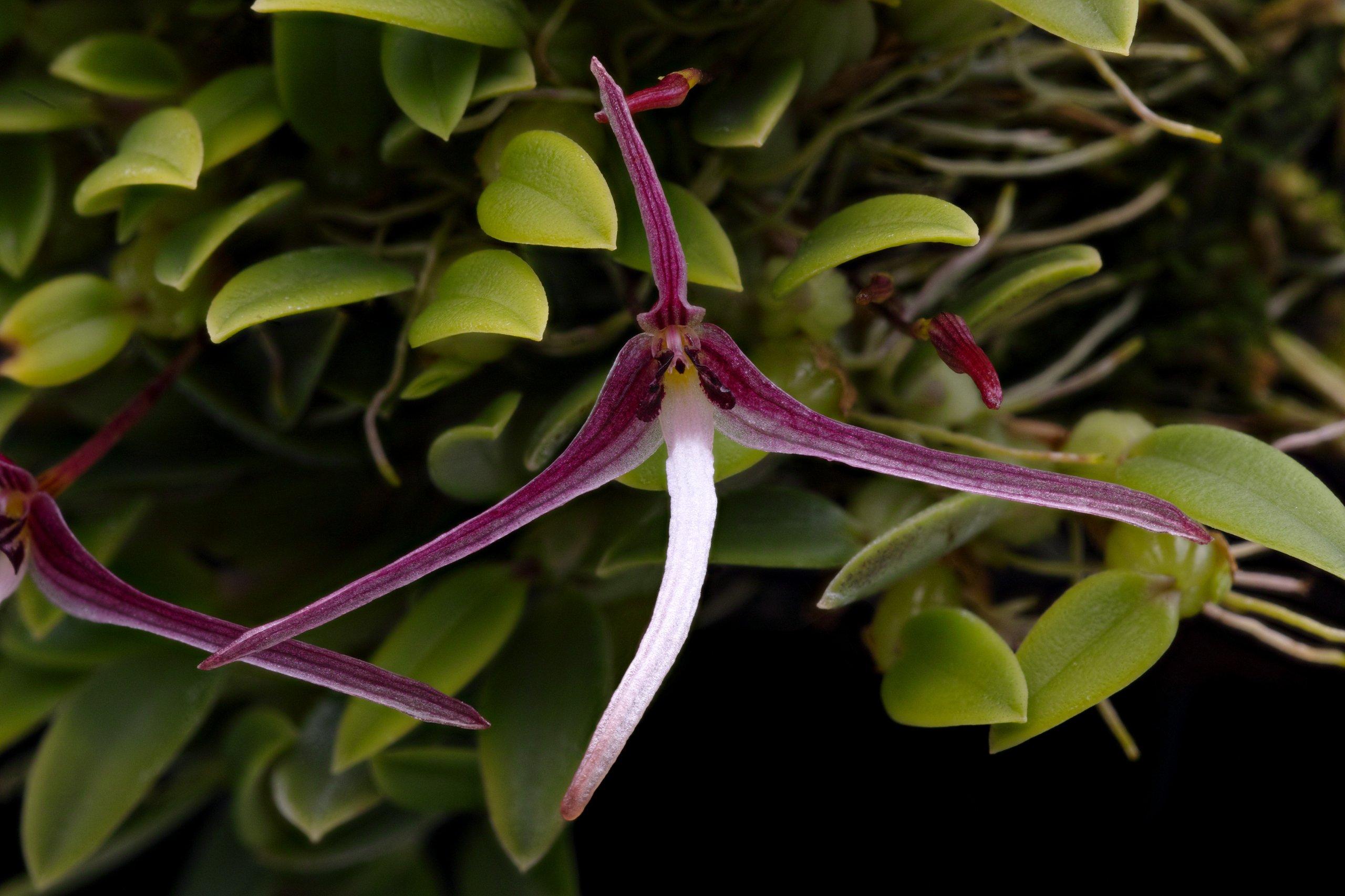 Bulbophyllum dolichoglottis closeup.jpg