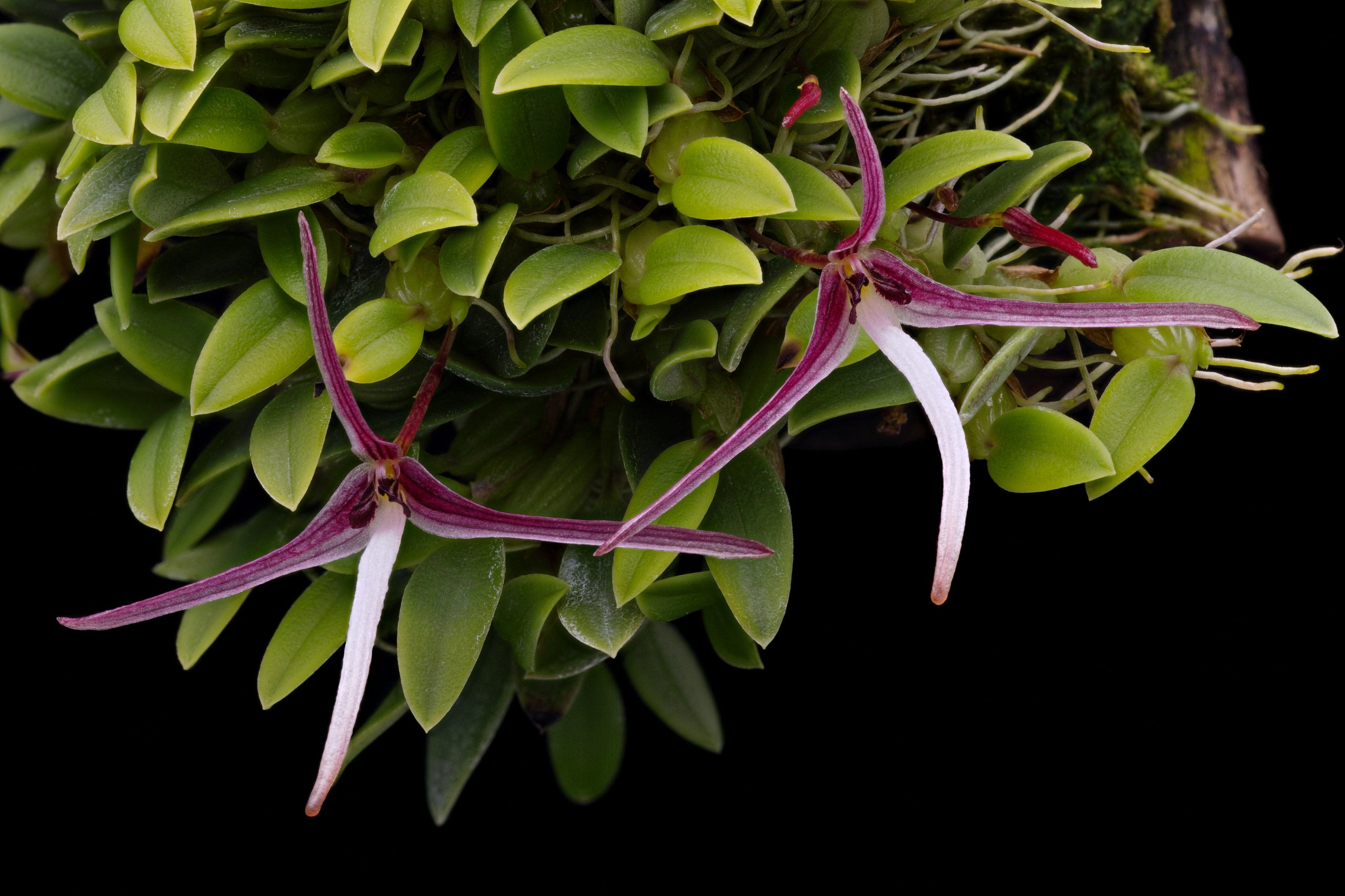 Bulbophyllum dolichoglottis flowers.jpg