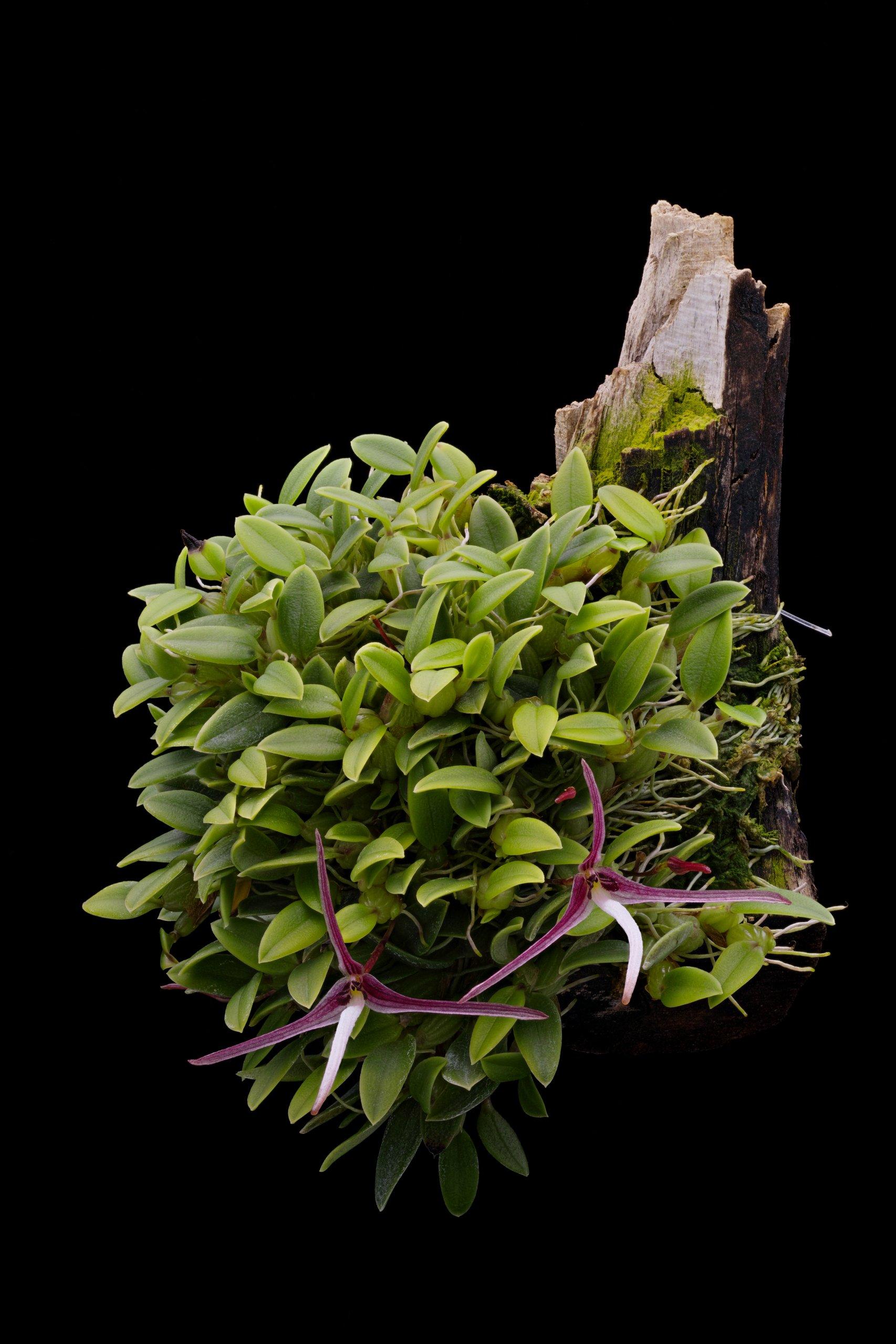 Bulbophyllum dolichoglottis.jpg