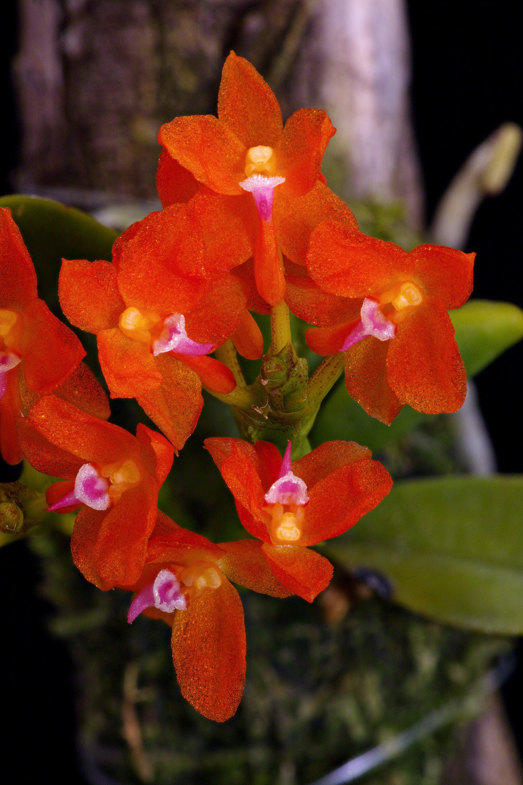 Ceratocentron fesselii_flowers.jpg