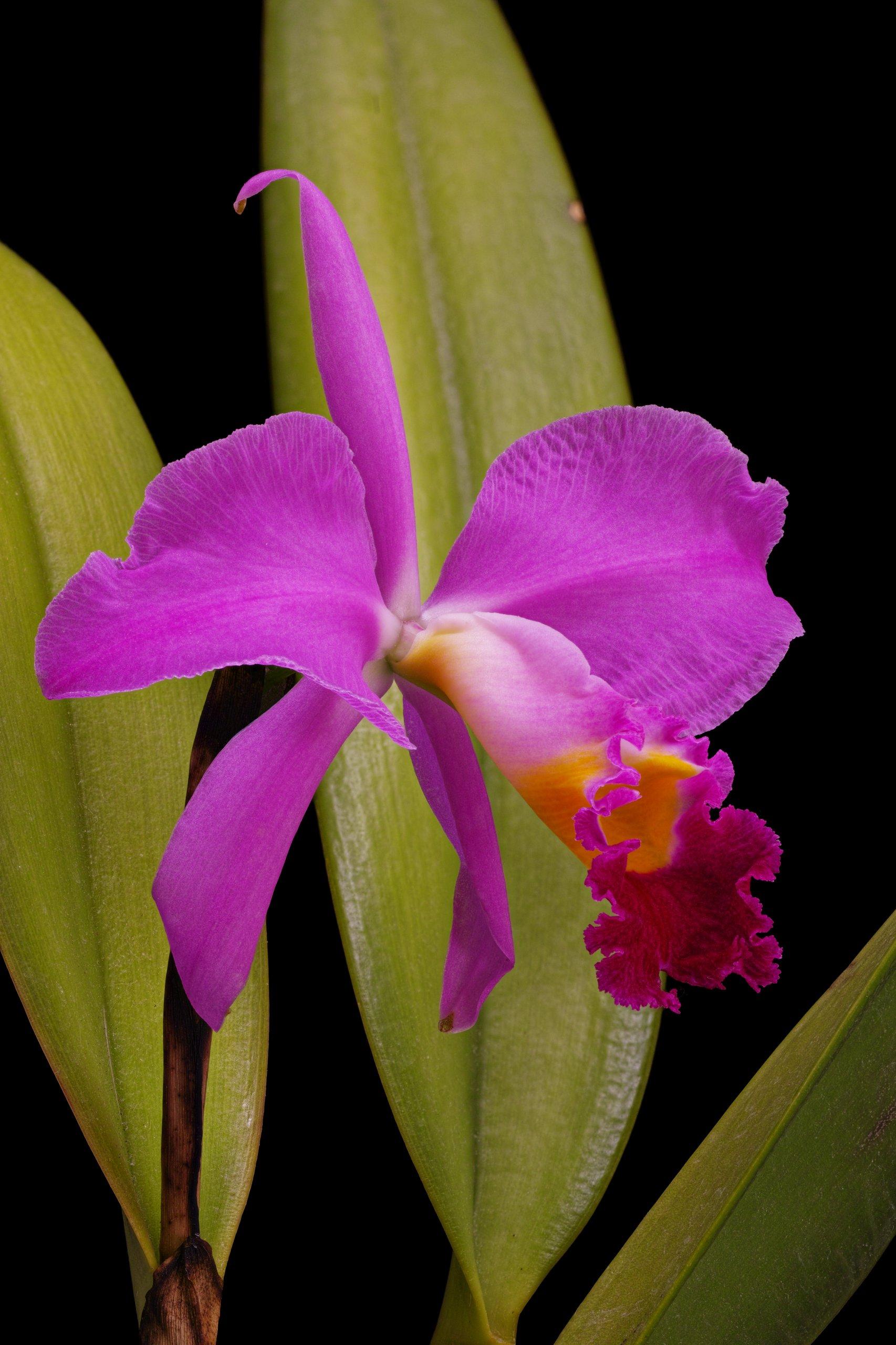 Cattleya eldorado 'M. Ito' AM-AOS BM-JOGA.tif flower (perspective).jpg