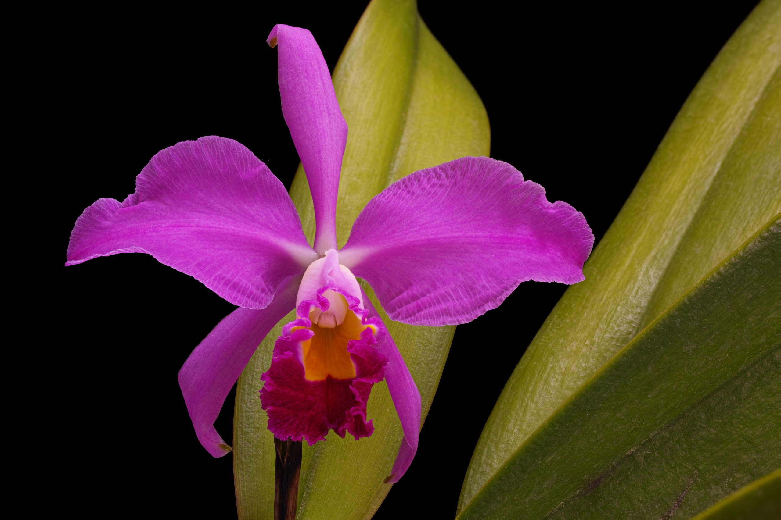 Cattleya eldorado 'M. Ito' AM-AOS BM-JOGA.tif flower.jpg