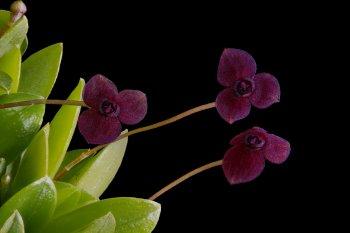 Stelis uniflora closeup.jpg