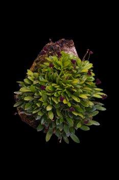 Stelis uniflora.jpg