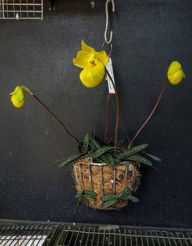 paphiopedilum armeniacum - 2018.jpg