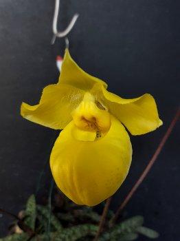 paphiopedilum armeniacum  - fiore - 2018.jpg