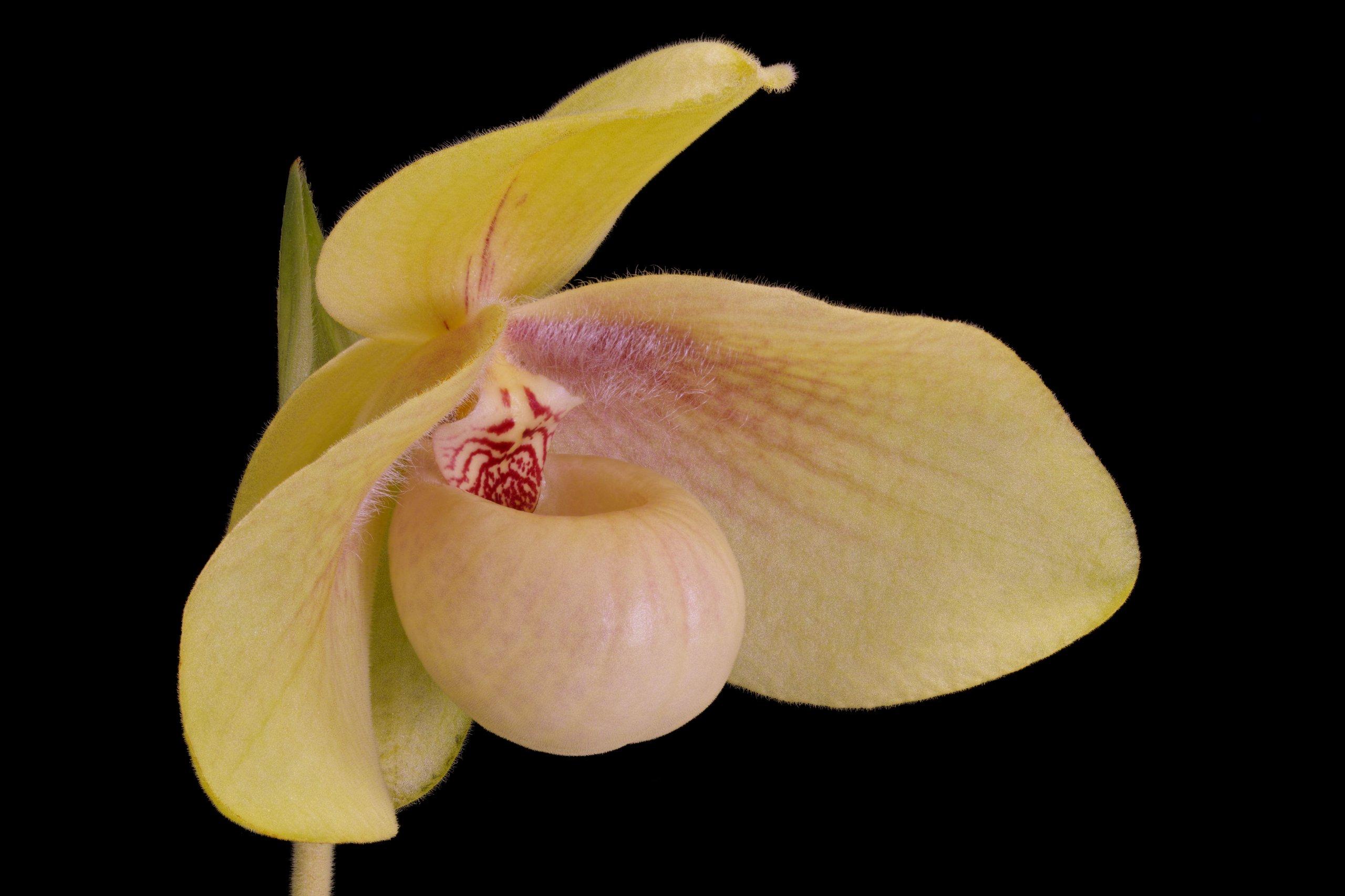 Paphiopedilum hangianum flower perspective.jpg