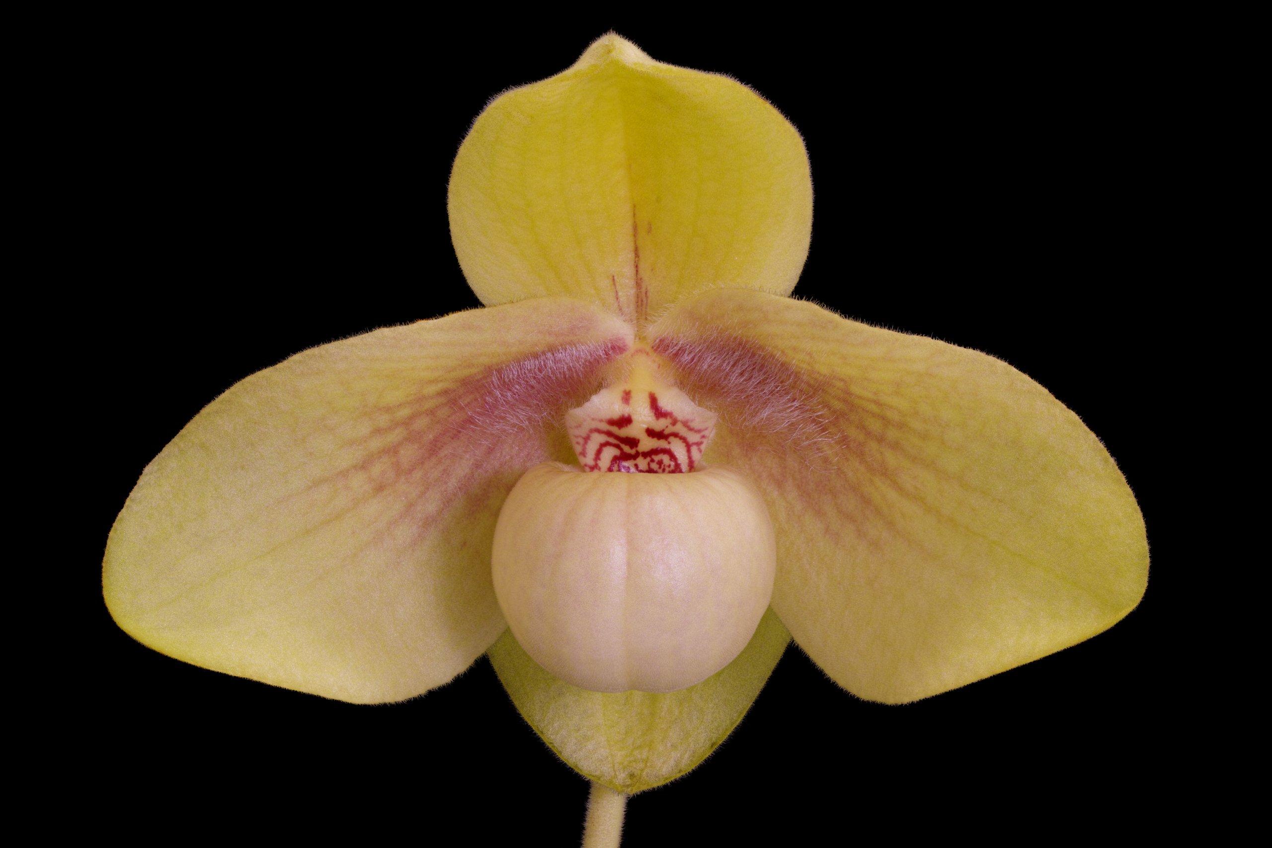 Paphiopedilum hangianum flower.jpg