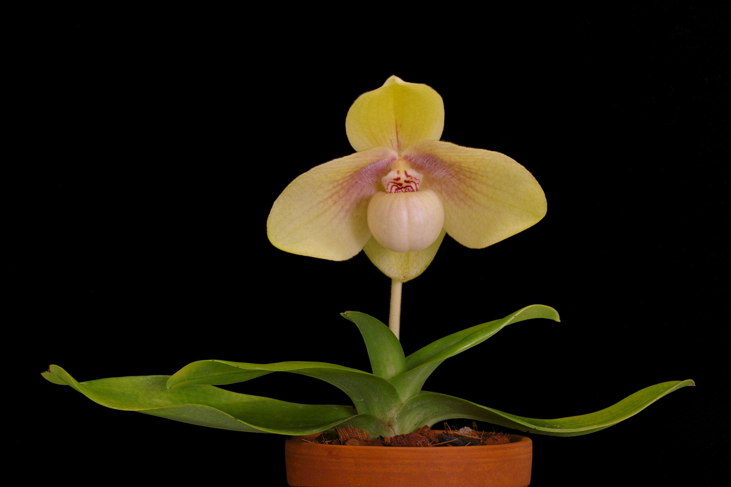 Paphiopedilum hangianum.jpg