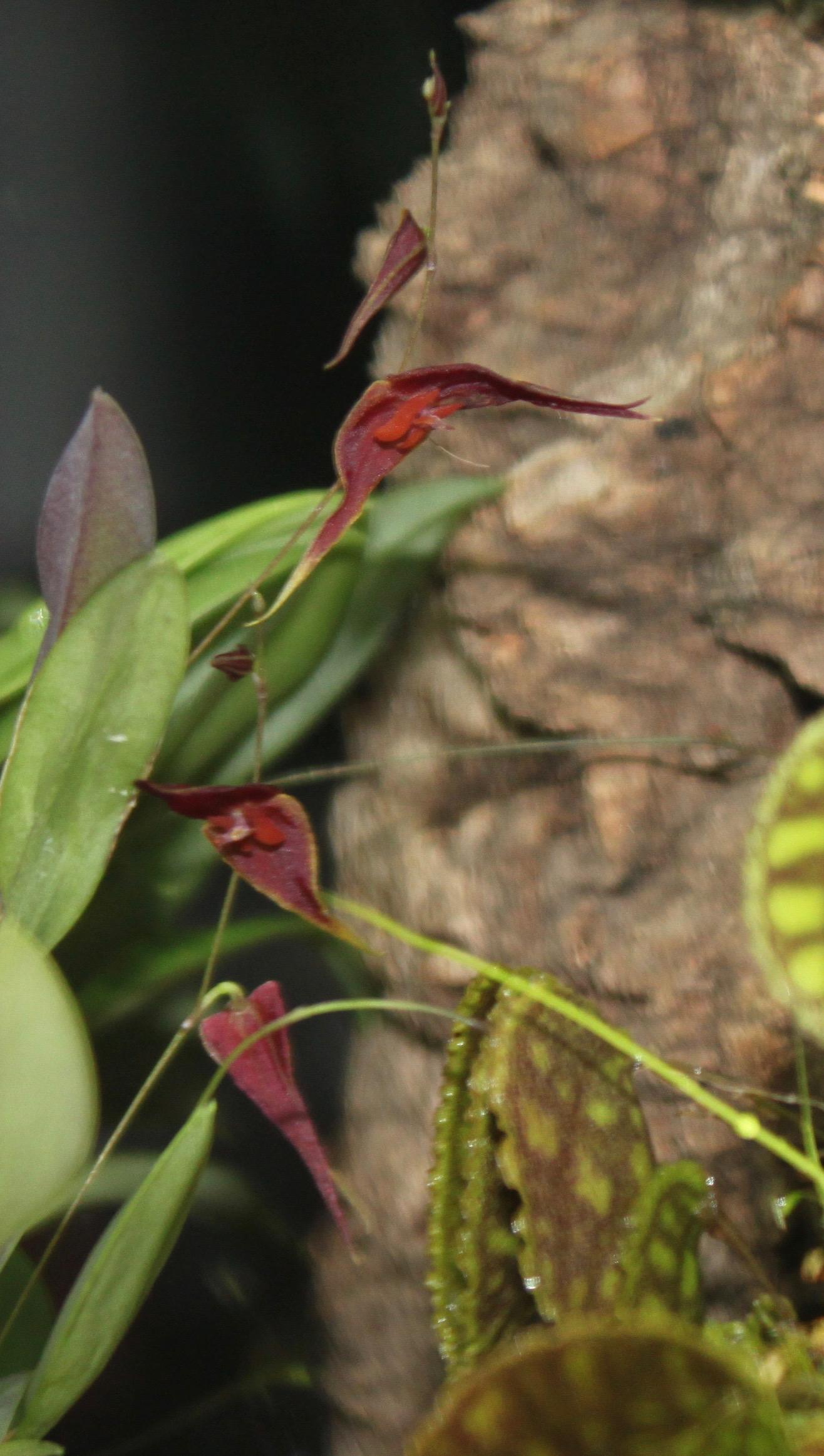 L elegantula ionoptera.jpg