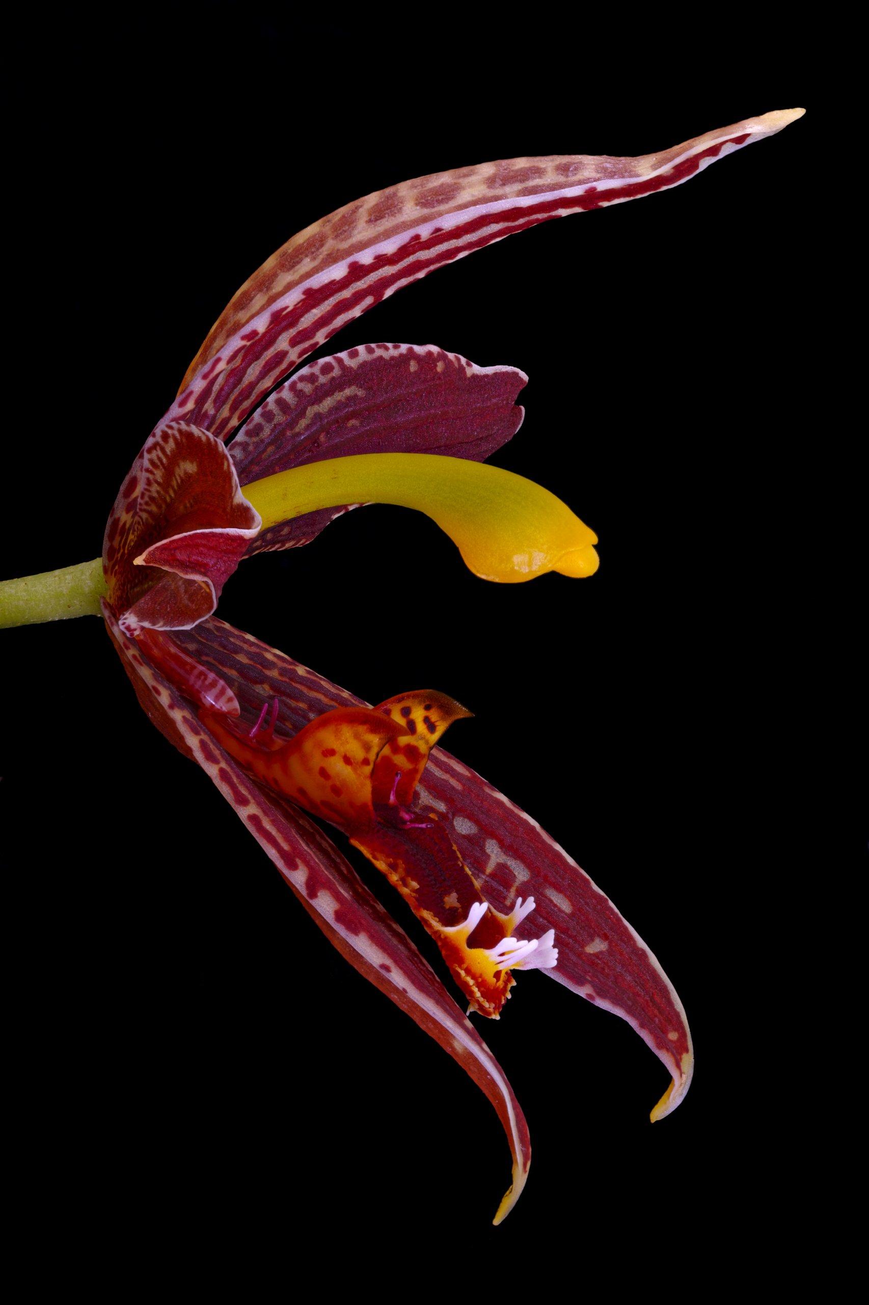 Paphinia posadarum flower (side)tif.jpg