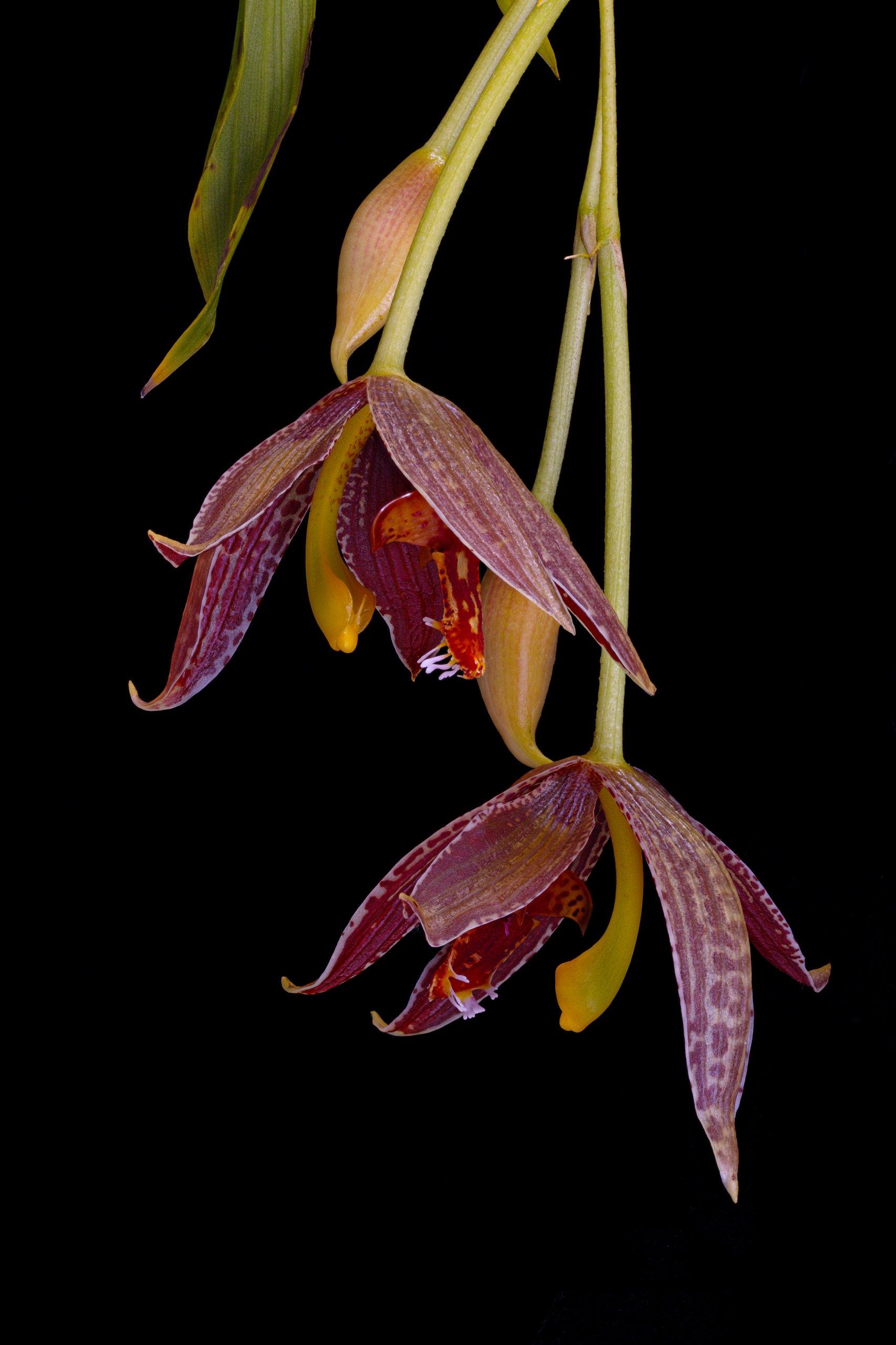 Paphinia posadarum flowers.jpg