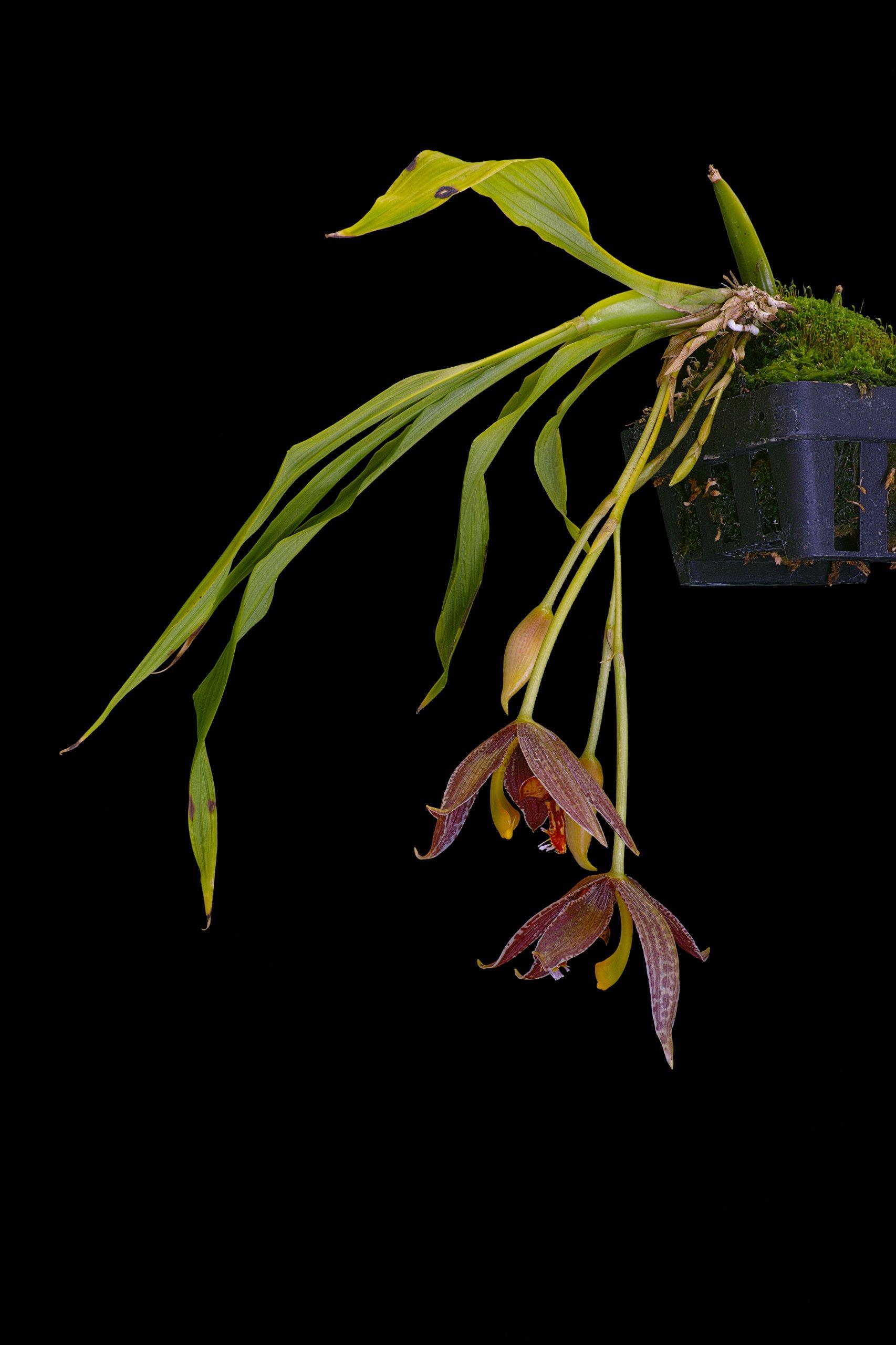 Paphinia posadarum.jpg