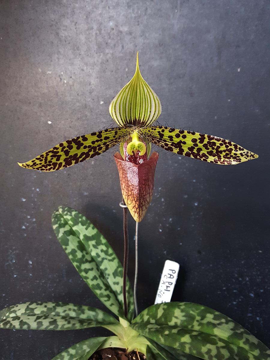 paphiopedilum sukhakulii - fiore - 2018 -.jpg