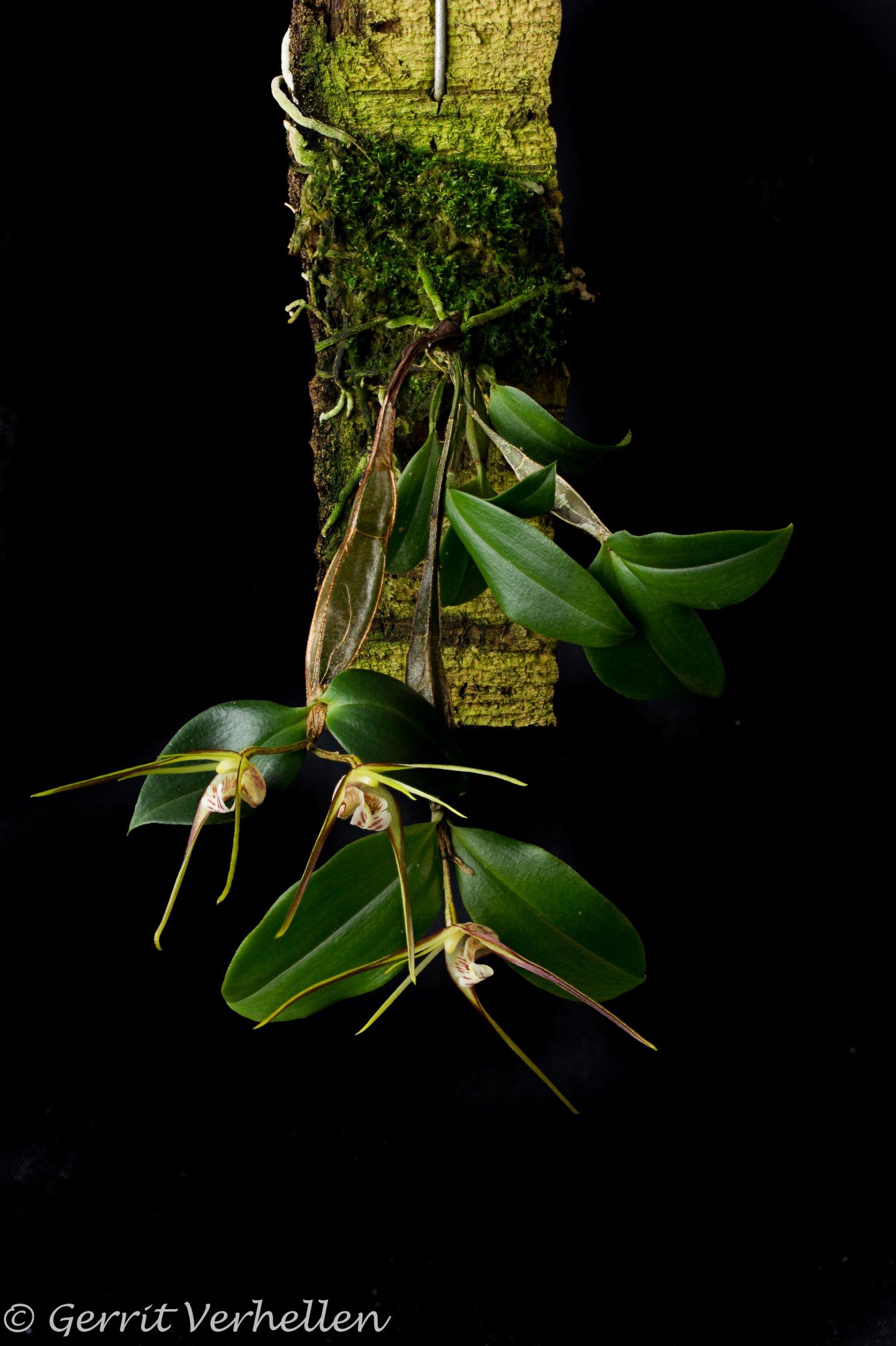 Dendrobium tetragonum -180211--7.jpg
