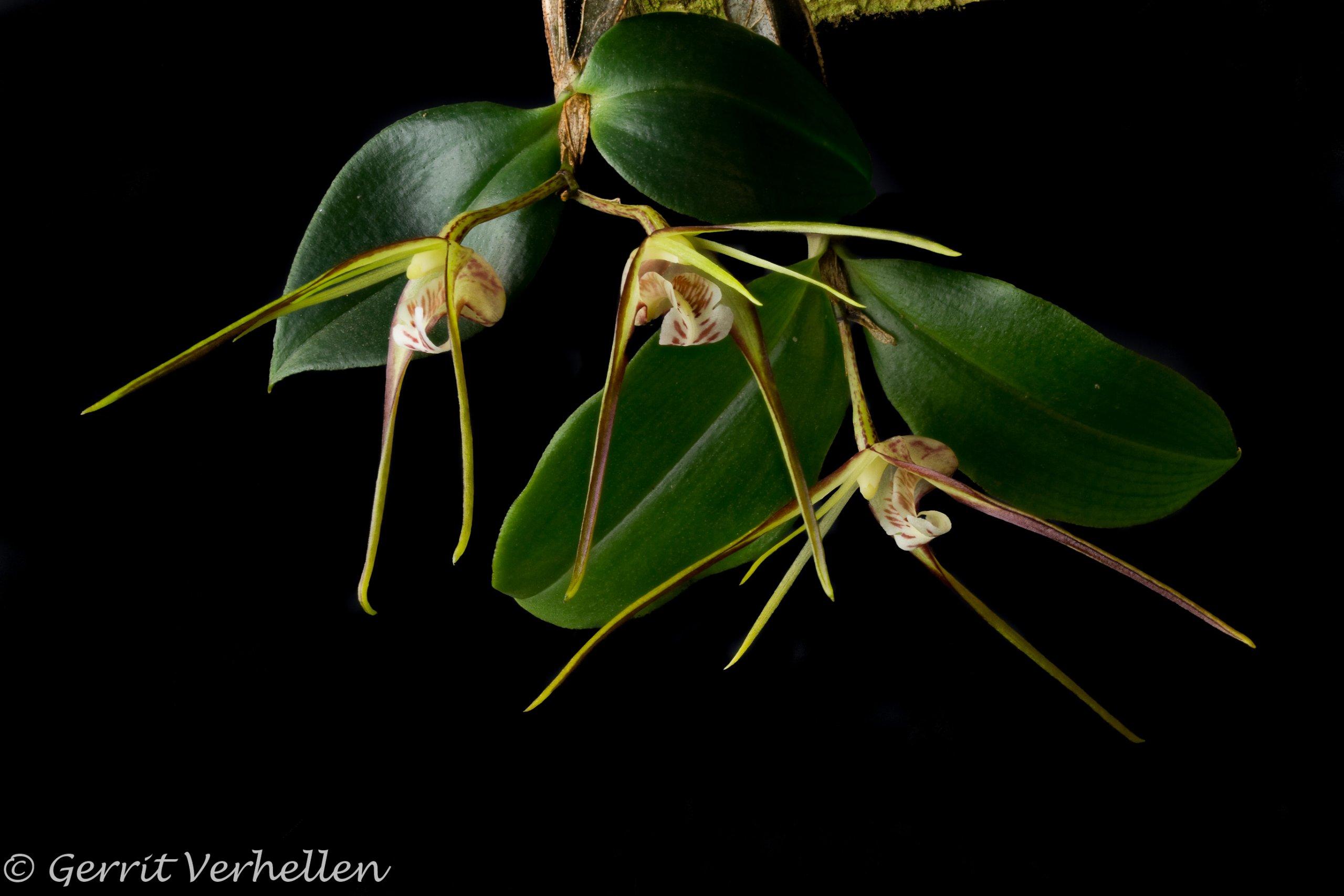 Dendrobium tetragonum -180211--5.jpg