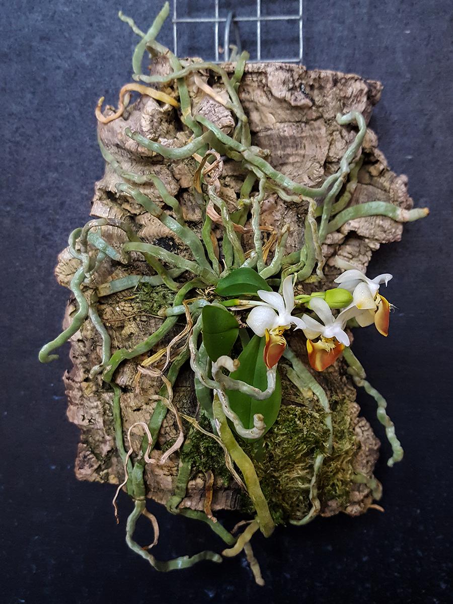 phalaenopsis parishii lobbii - 2018.jpg