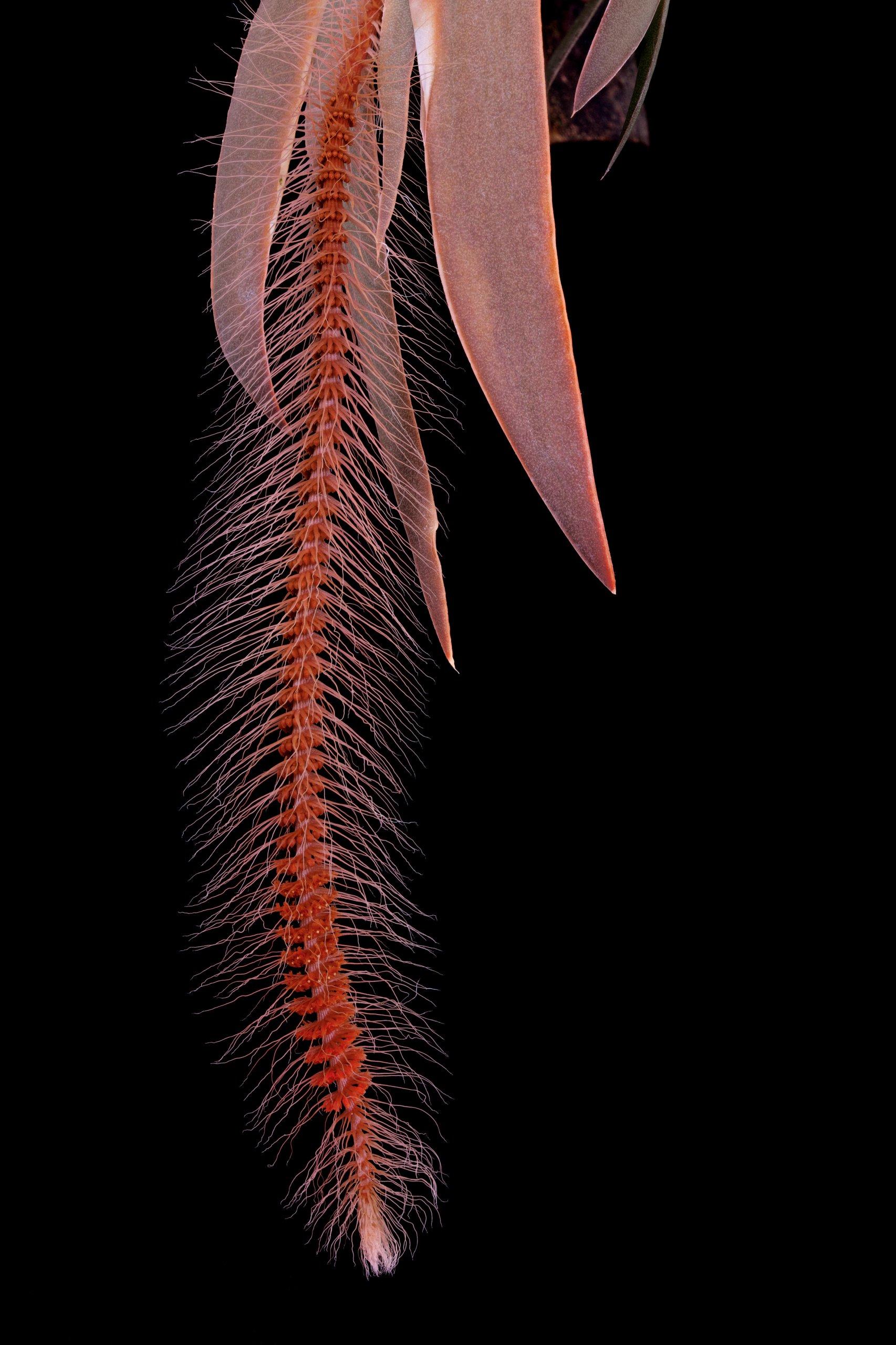 Oberonia setigera inflorescence.jpg