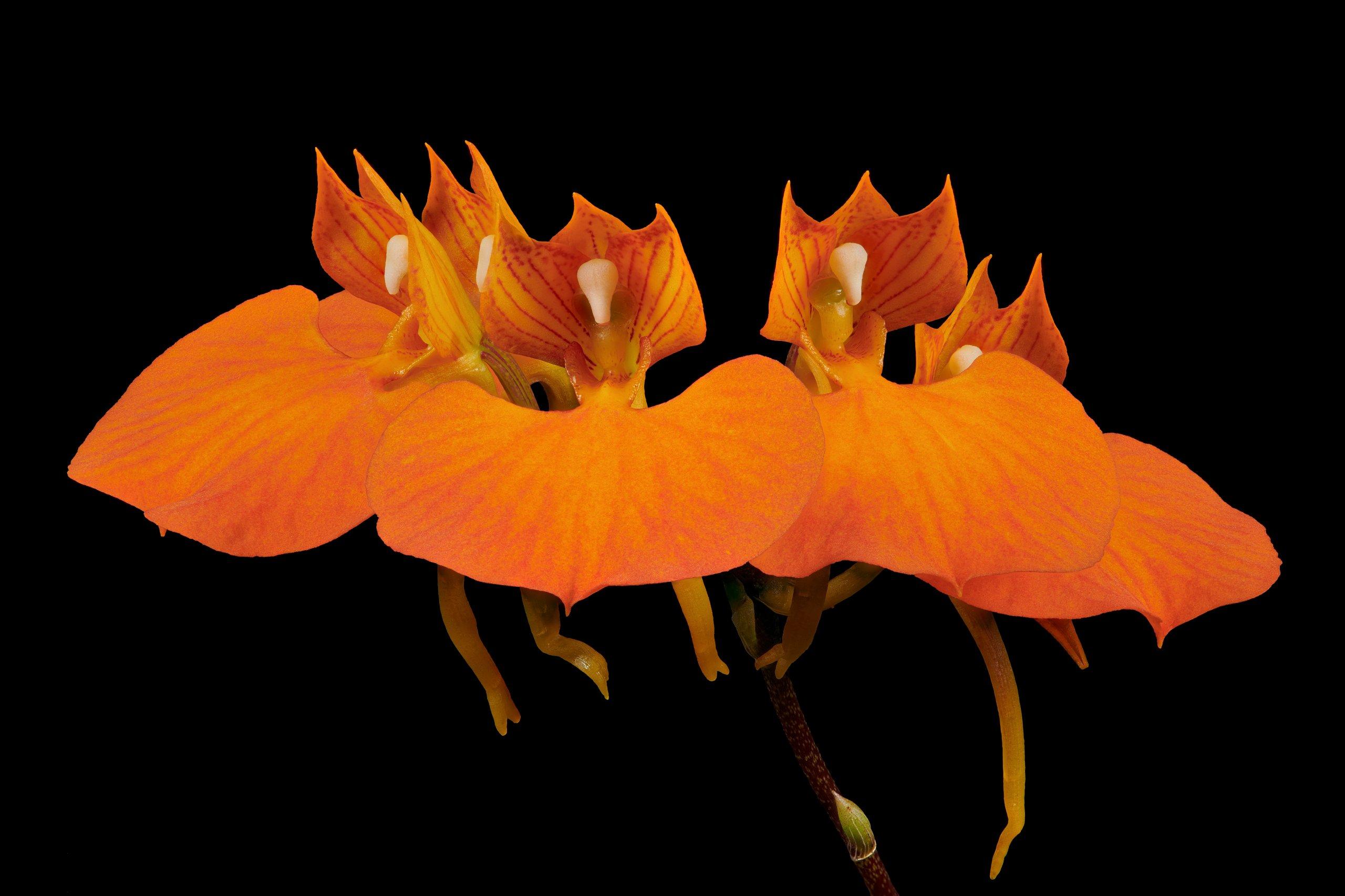 Comparettia speciosa flowers 02.jpg