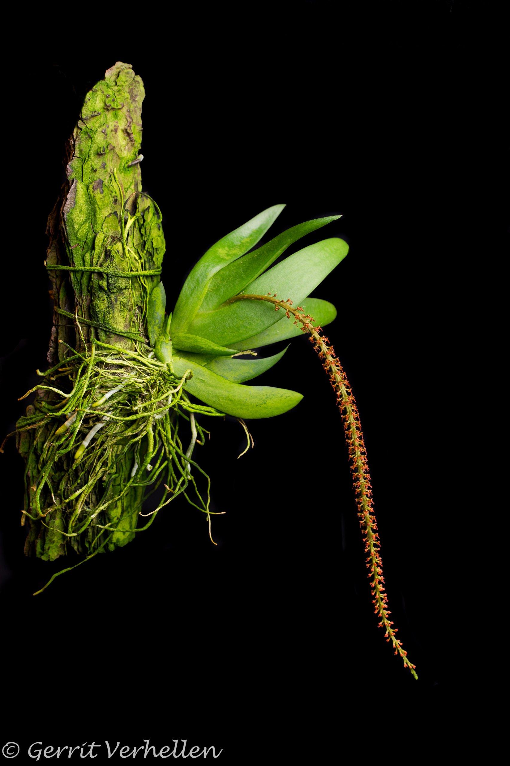 Oberonia caulescens-180720--2.jpg