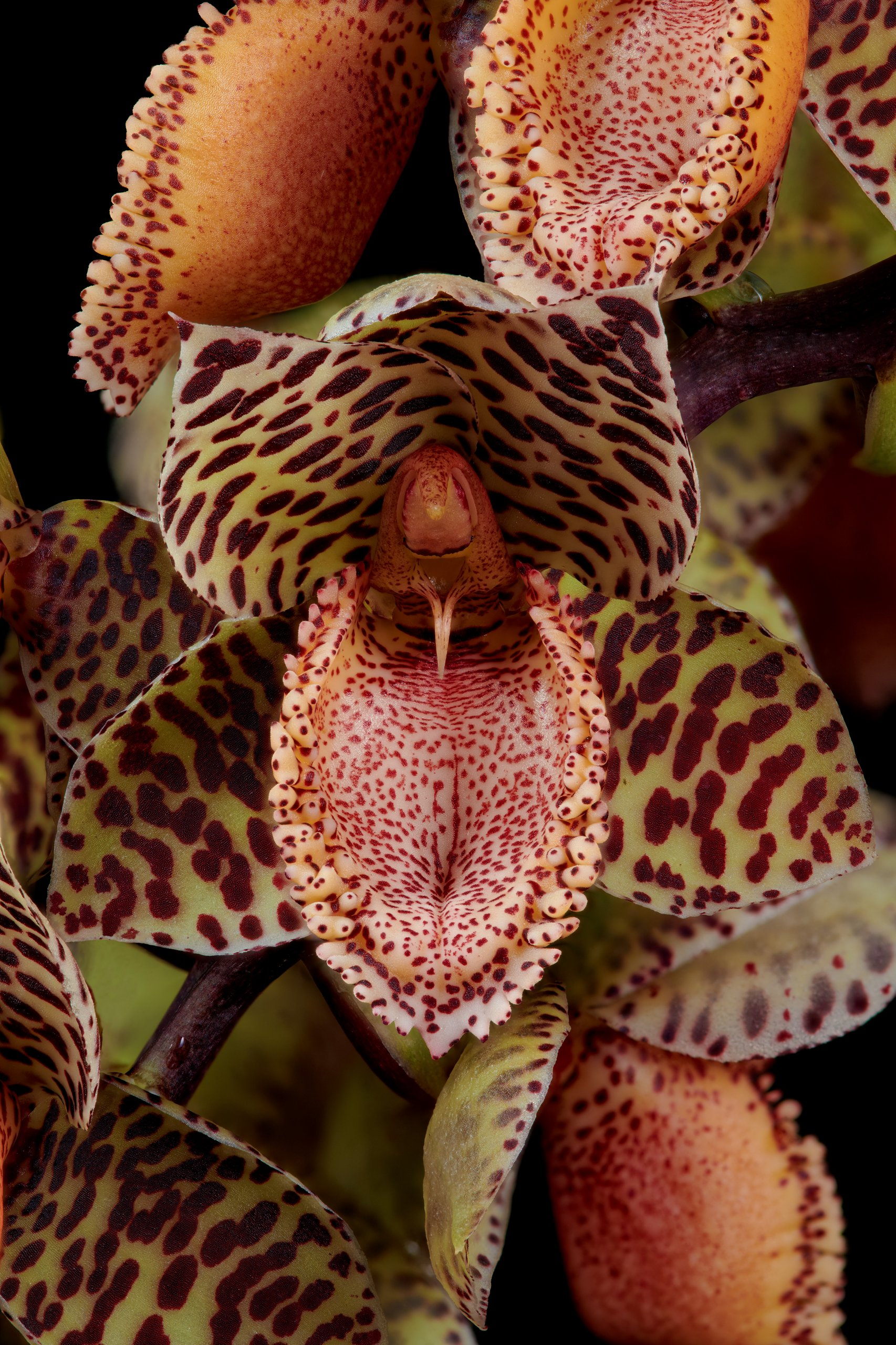 Catasetum denticulatum closeup.jpg