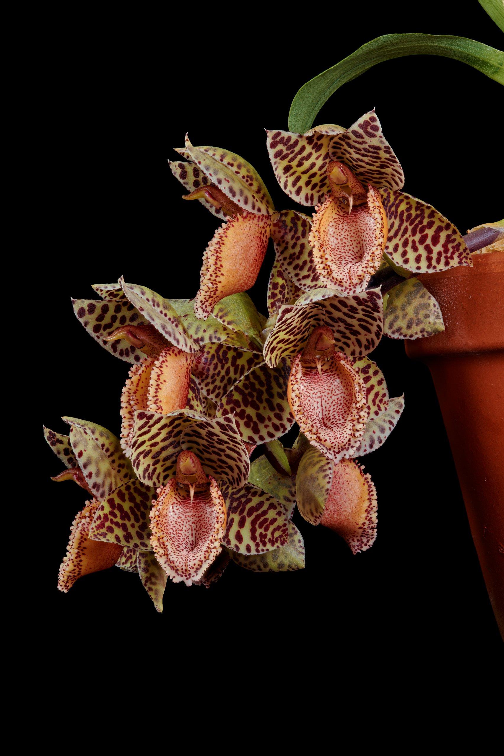 Catasetum denticulatum inflorescence.jpg