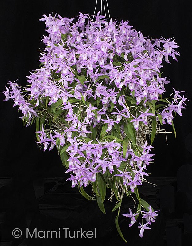 Barkeria spectabilis bhoff.habit.jpg