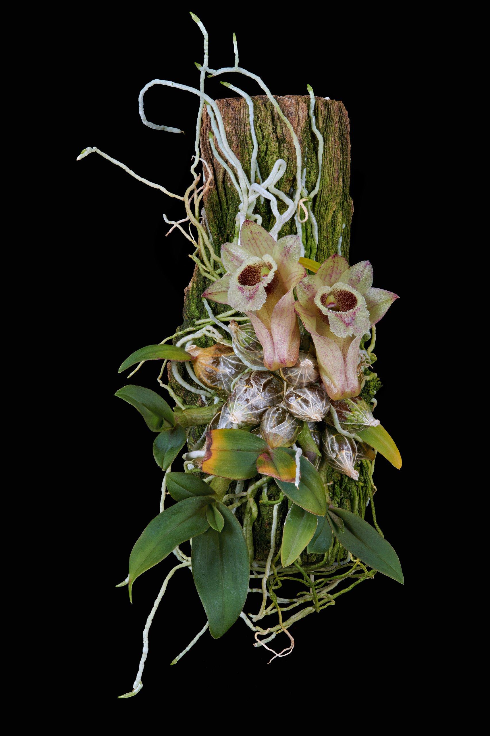 Dendrobium hekouense 08.12.18.jpg