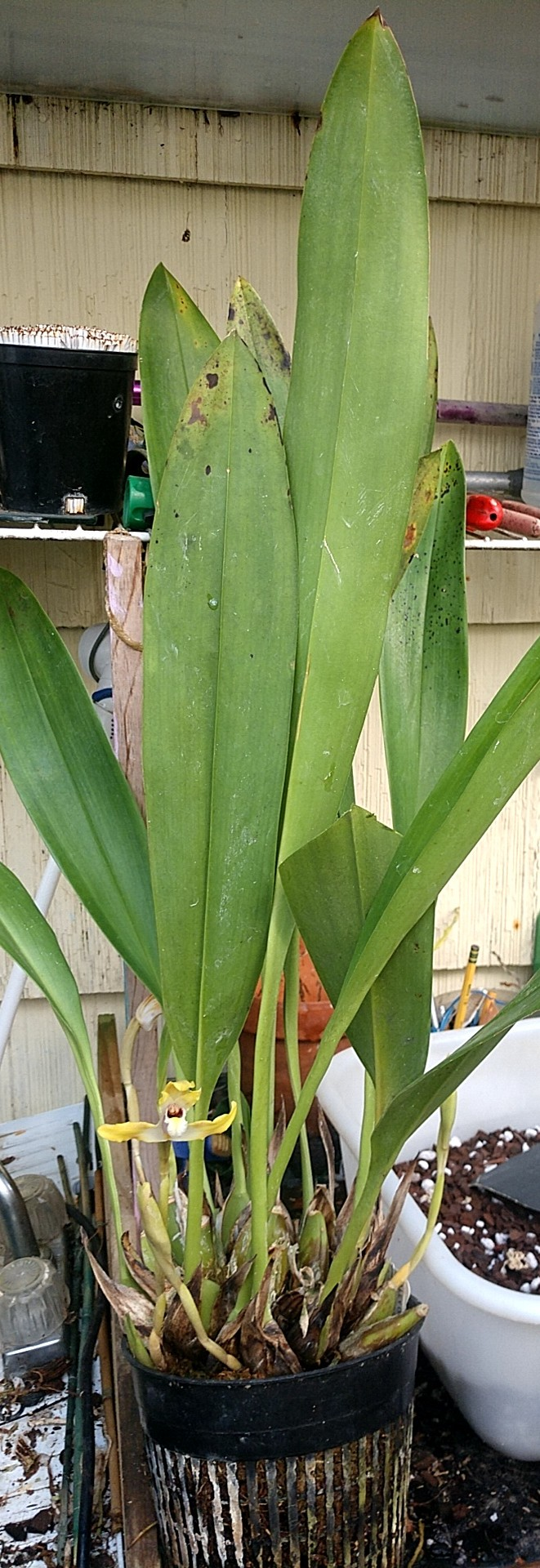 yellowmaxplant0818.jpg