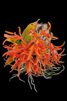 Dendrobium lamyaiae 01.jpg