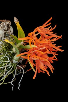 Dendrobium lamyaiae 02.jpg