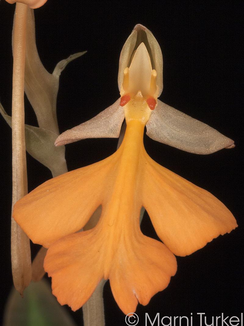 H.rhodocheila. leon's orange x self.jpg