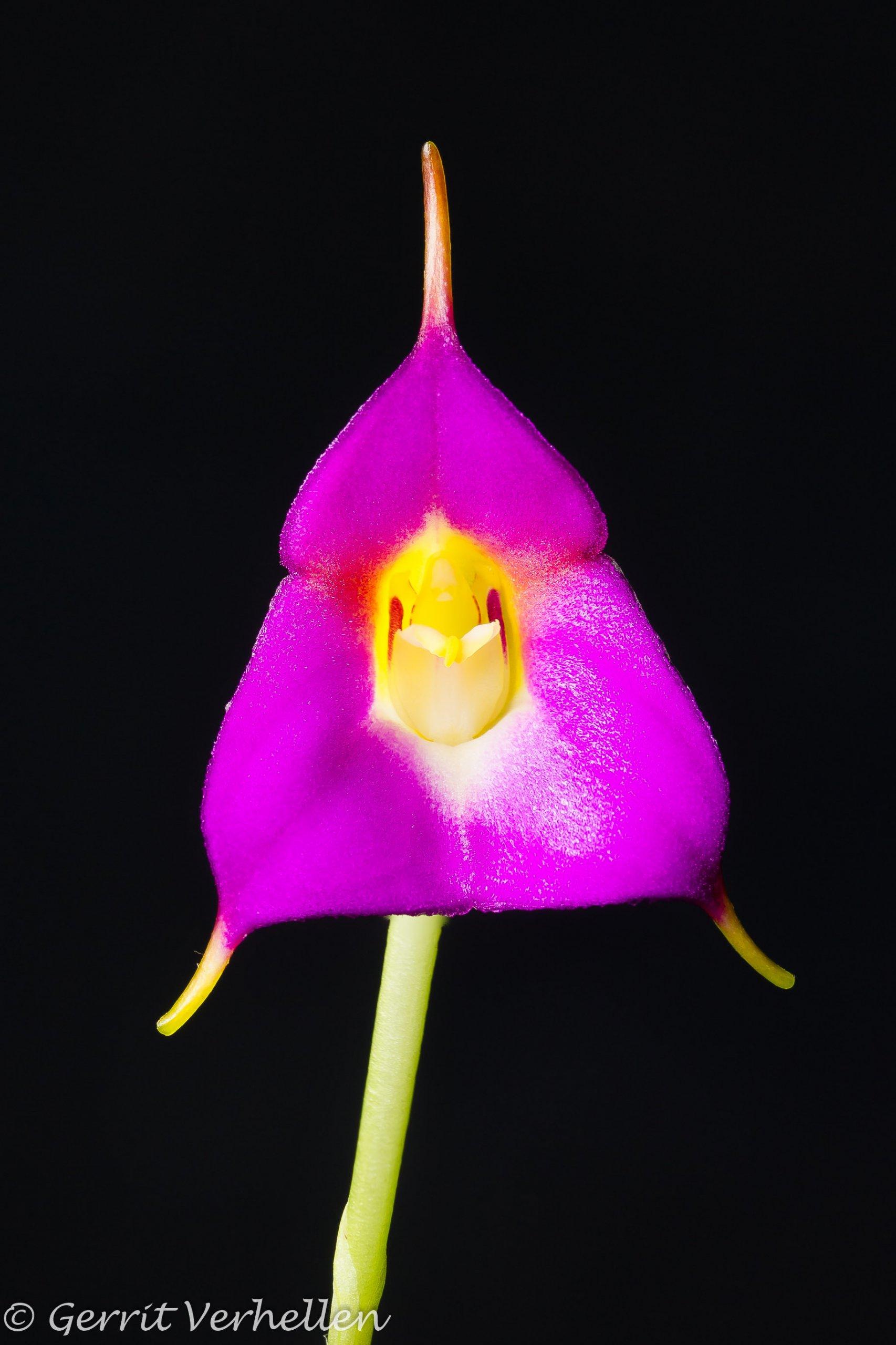 Masdevallia uniflora-181109--2.jpg