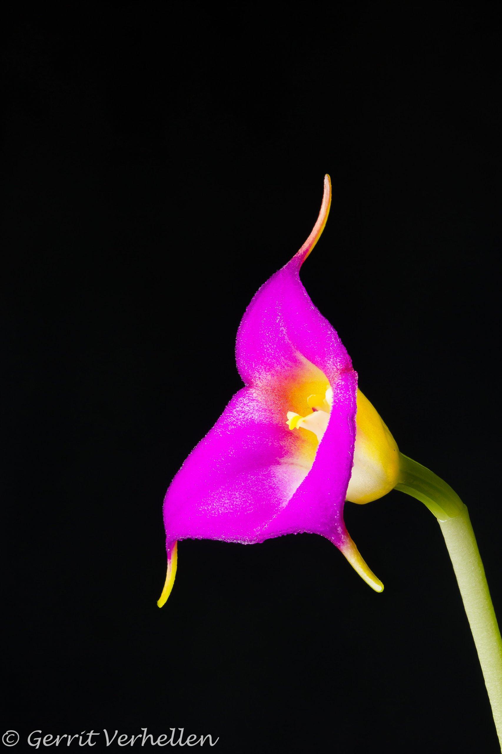 Masdevallia uniflora-181109--3.jpg