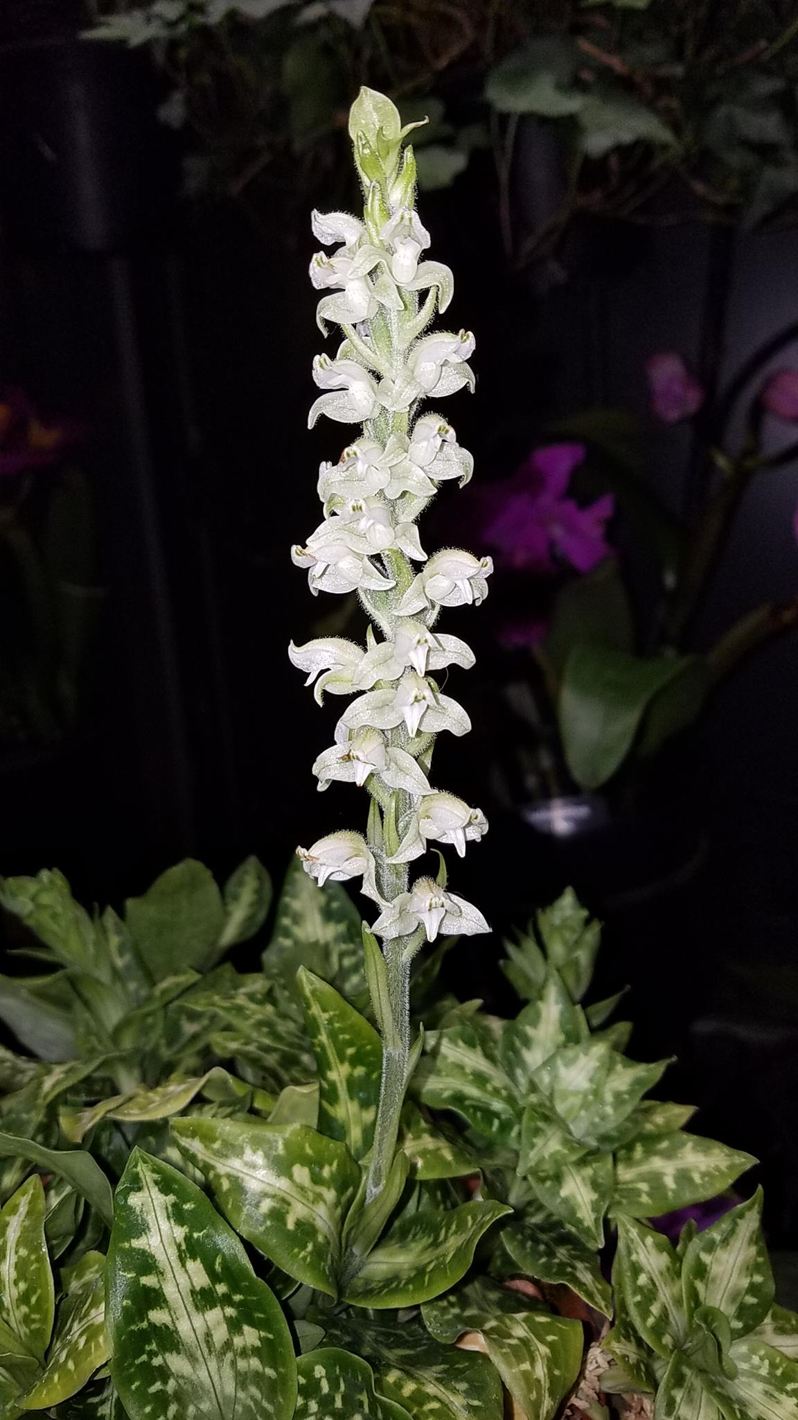 orchidatlongwood01.jpg