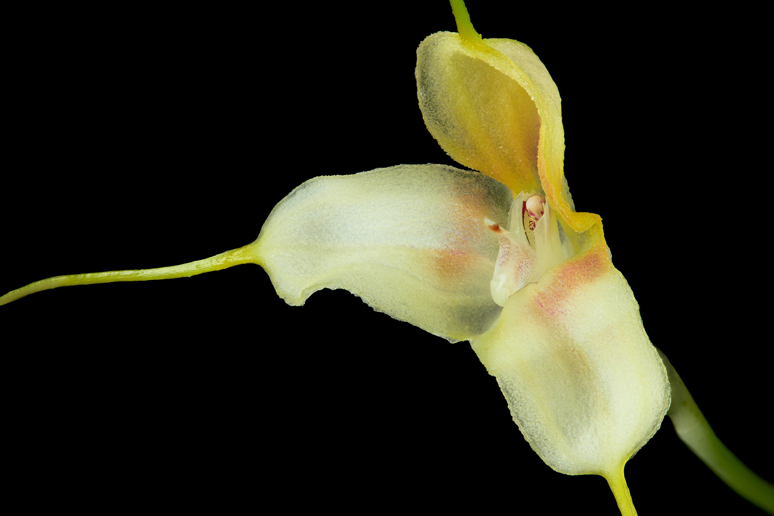 Masdevallia klabochorum closeup.jpg