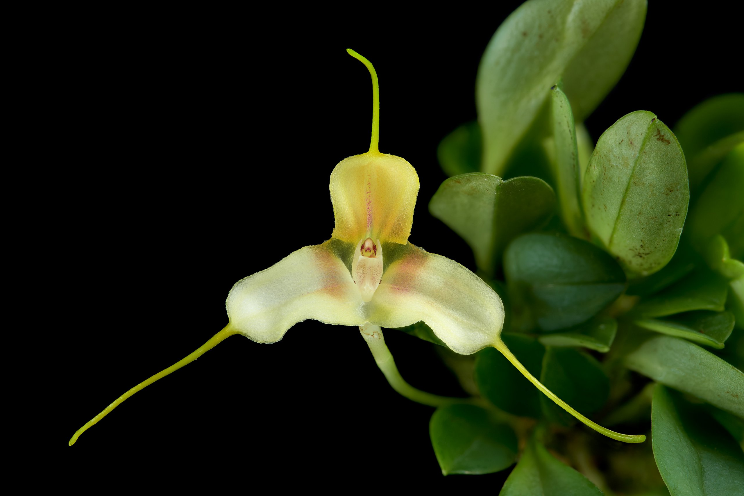 Masdevallia klabochorum flower.jpg