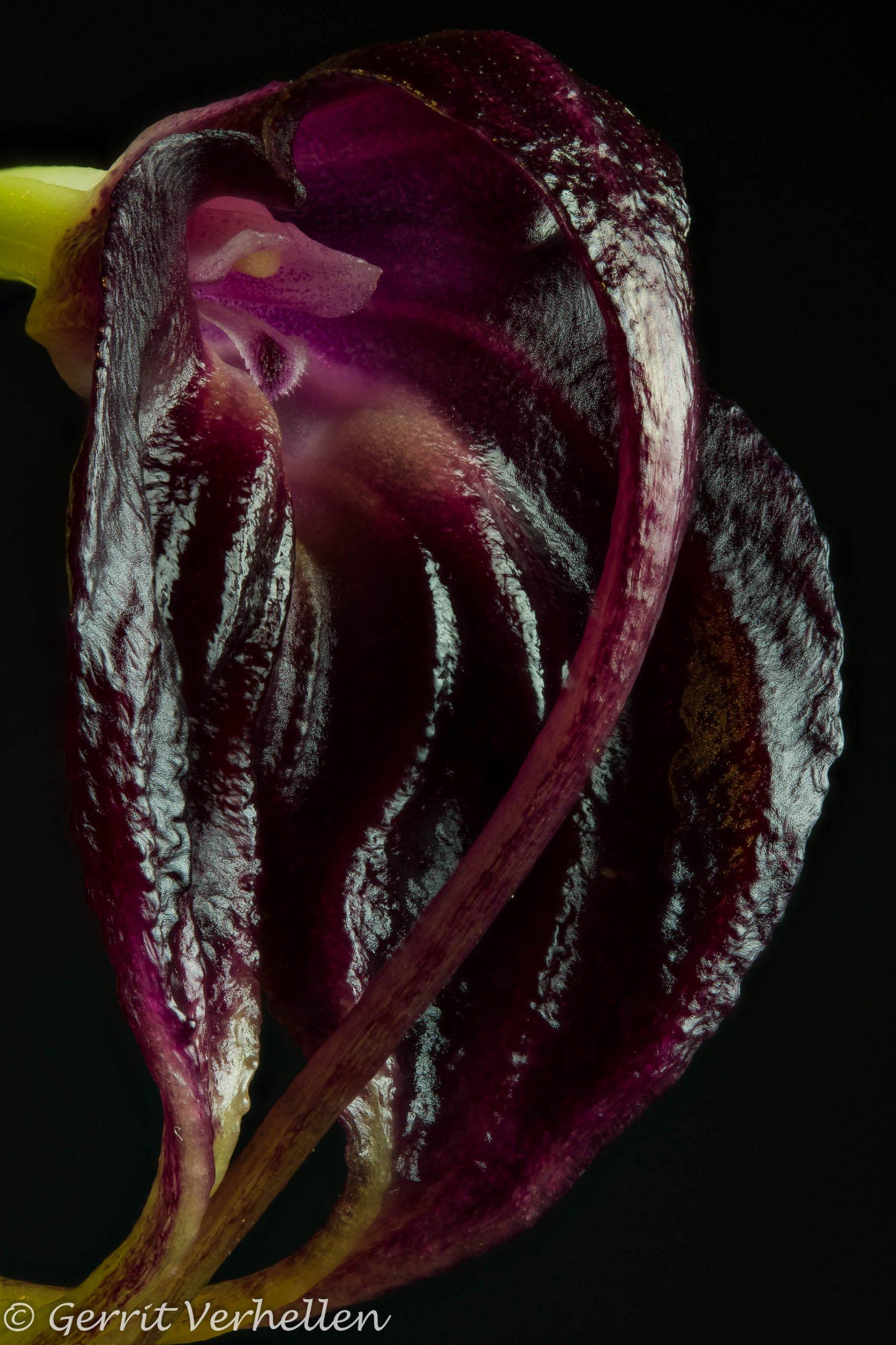 Masdevallia empusa -190110--4.jpg