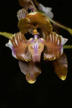 Cyrtochilum halteratum DSC_2715.JPG