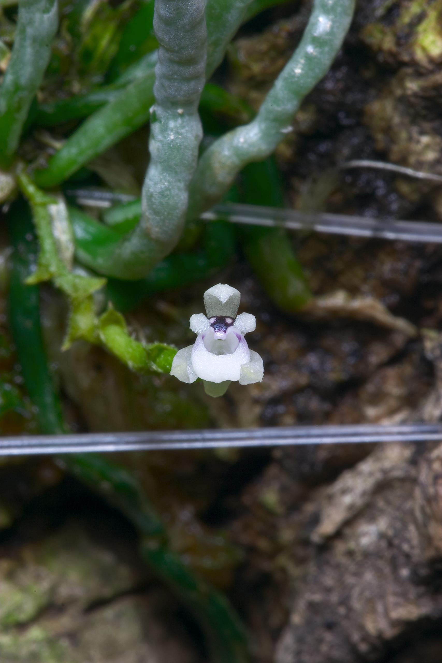 Taeniophyllum biocellatum closeup.png