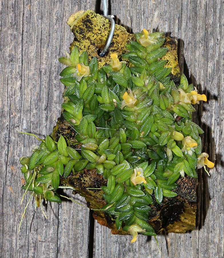 Dendrobium toressae plant-900.jpg