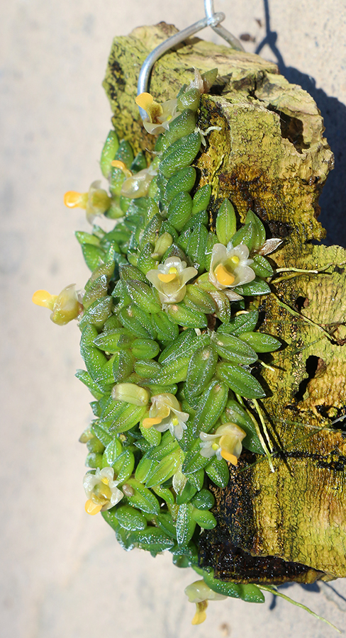 Dendrobium toressae profile-900.jpg