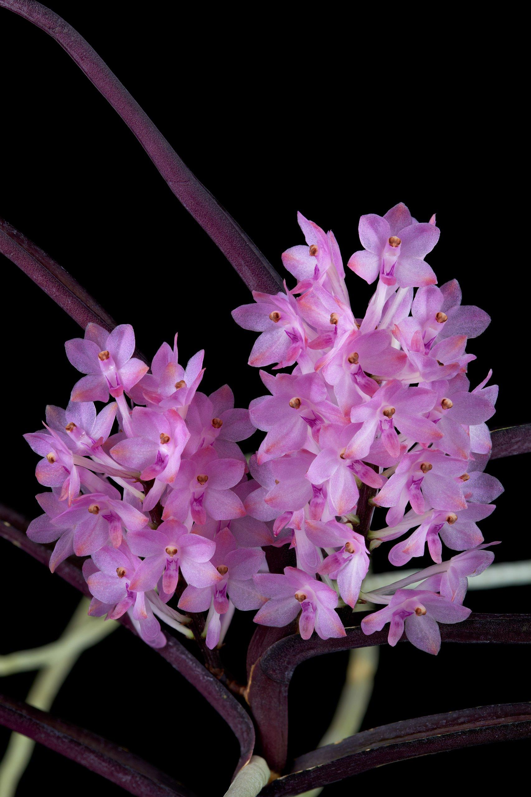 Ascocentrum christensonianum flowers_01.jpg
