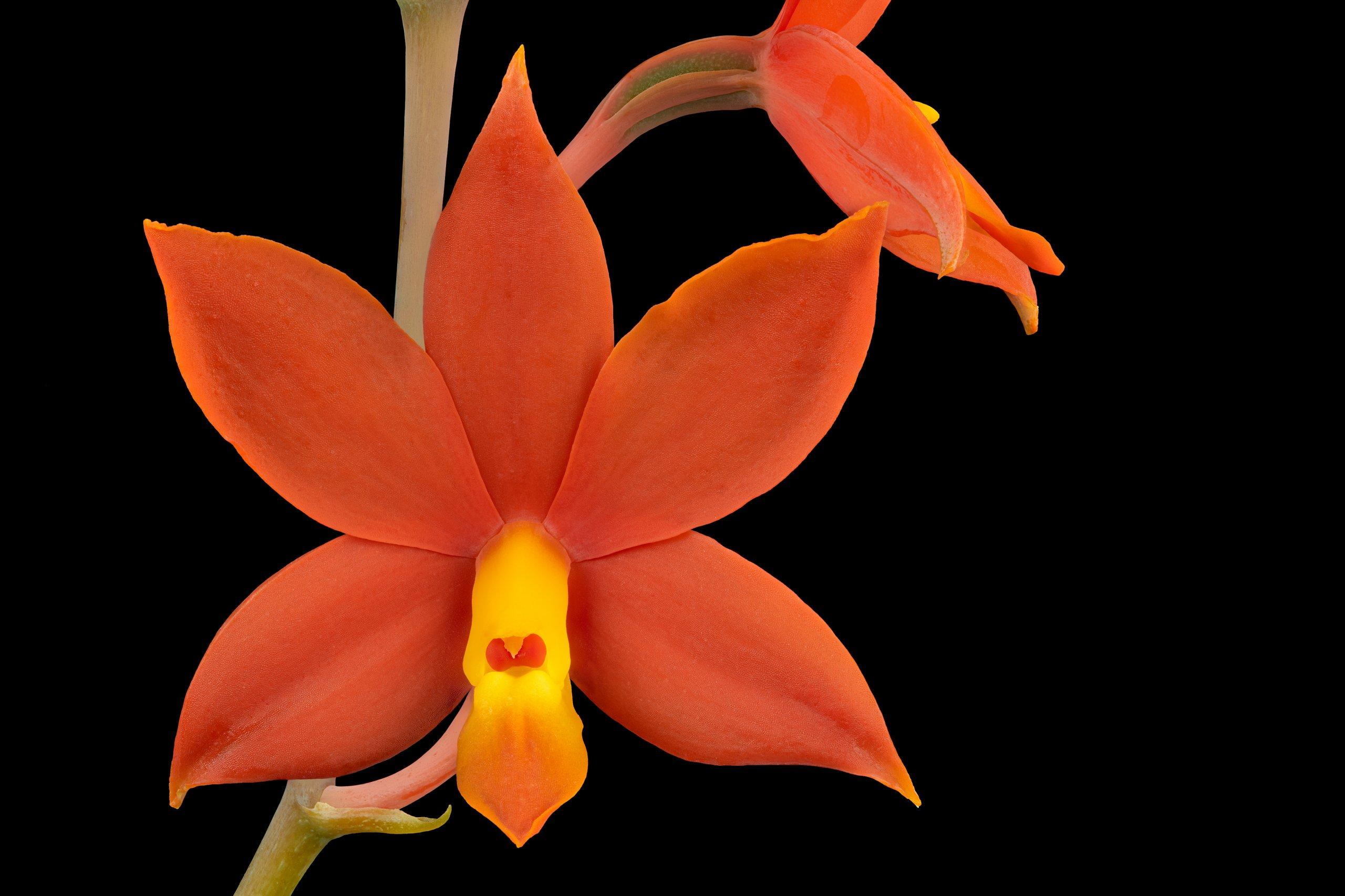 Encyclia vitellina flower.jpg