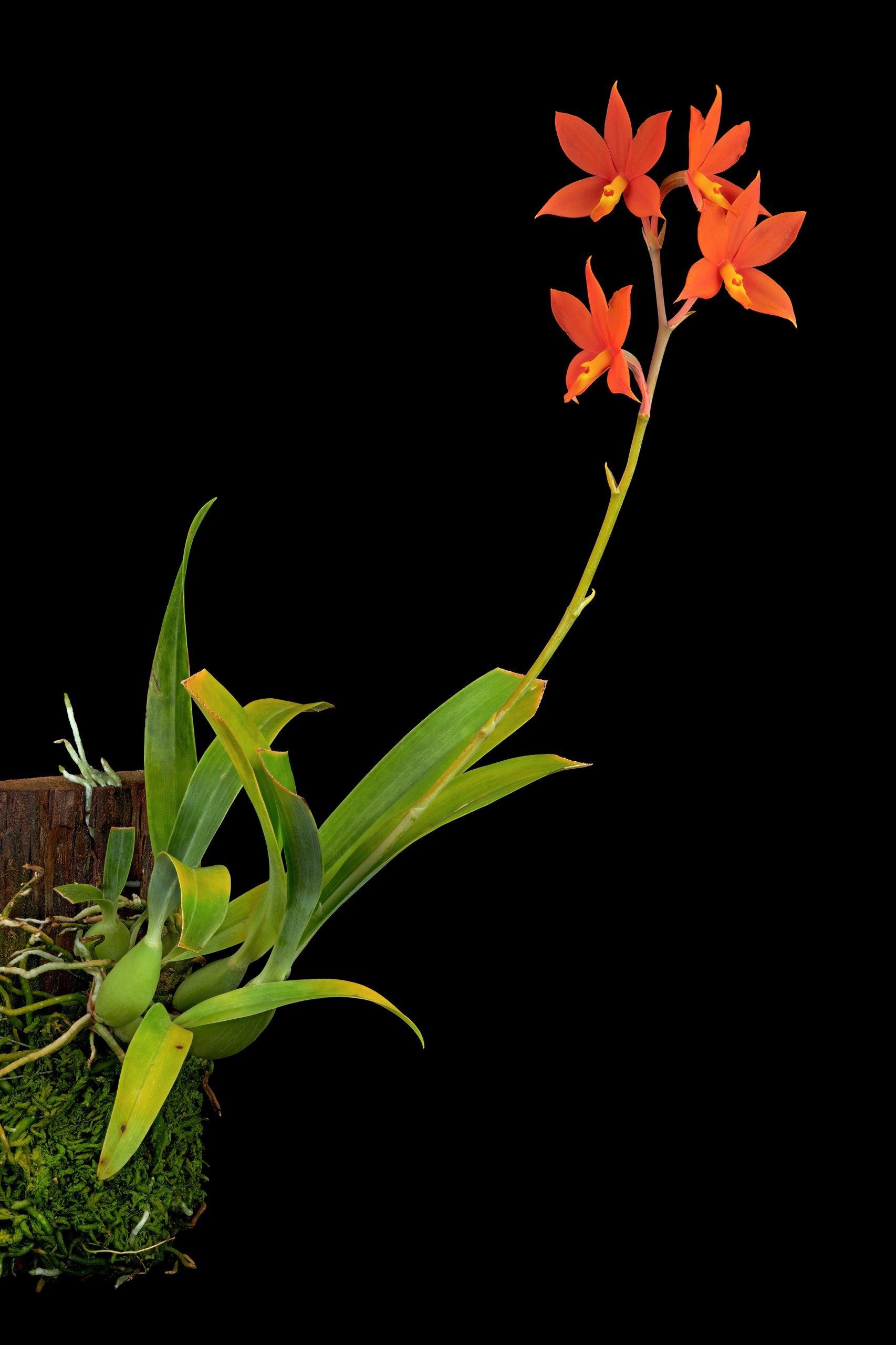 Encyclia vitellina.jpg