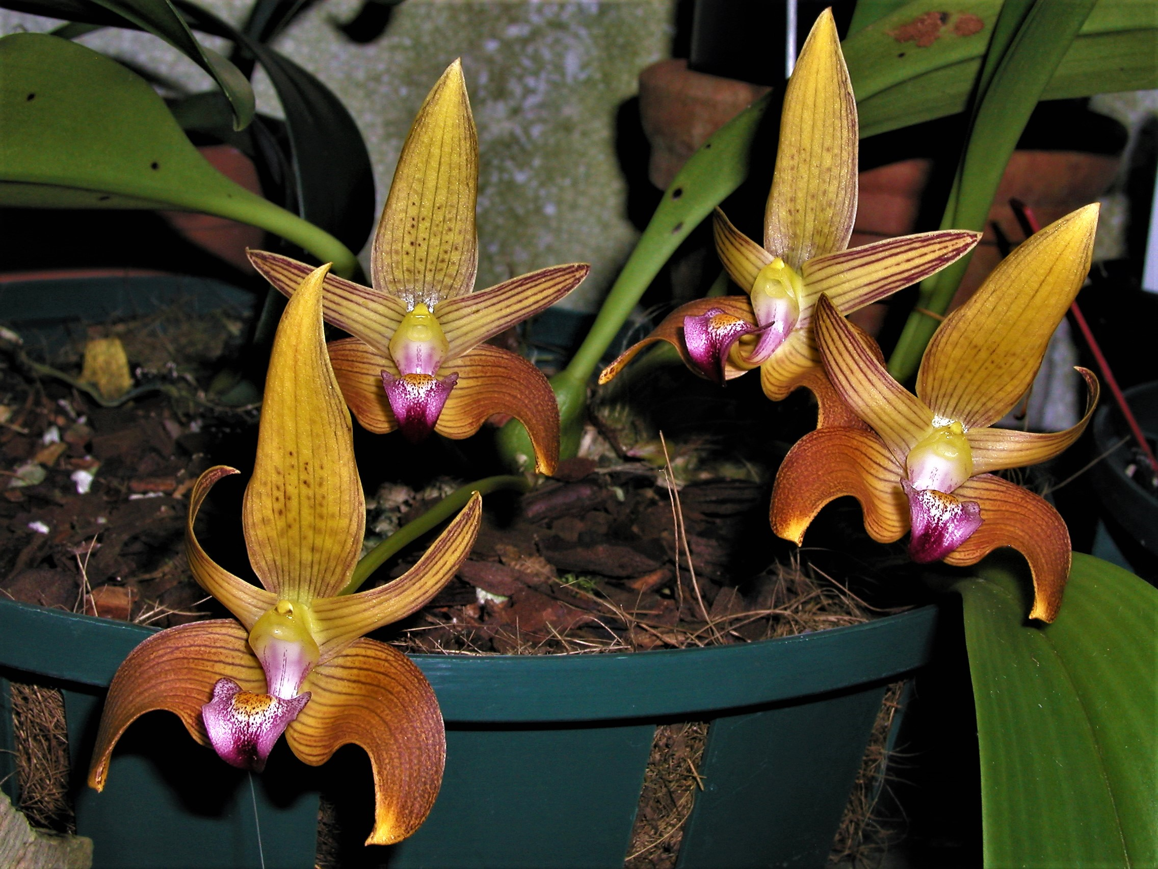 Bulbophyllum_lobbii_syn _B claptonense (4).jpg