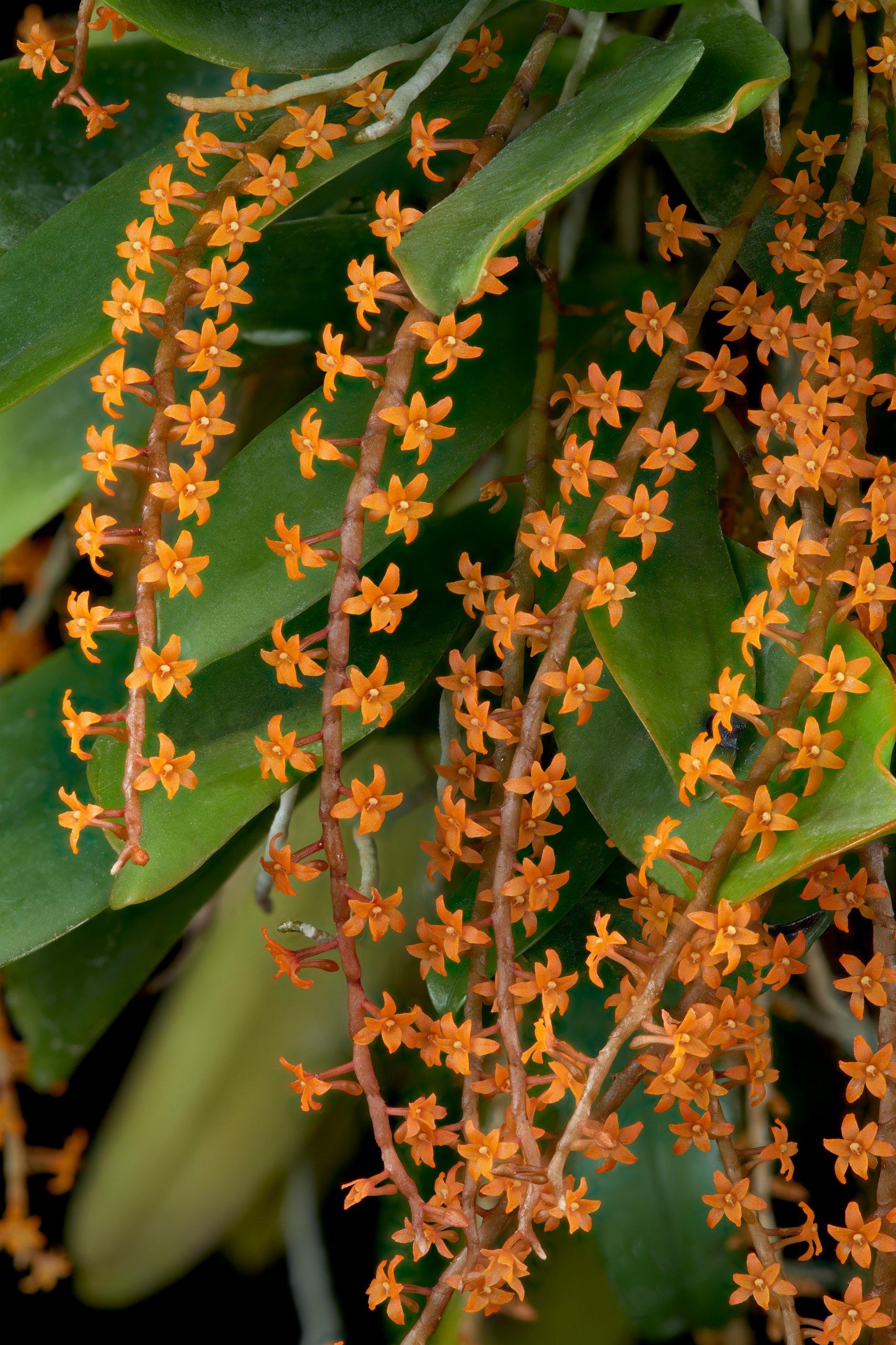 Microterangis hariotiana flowers.jpg