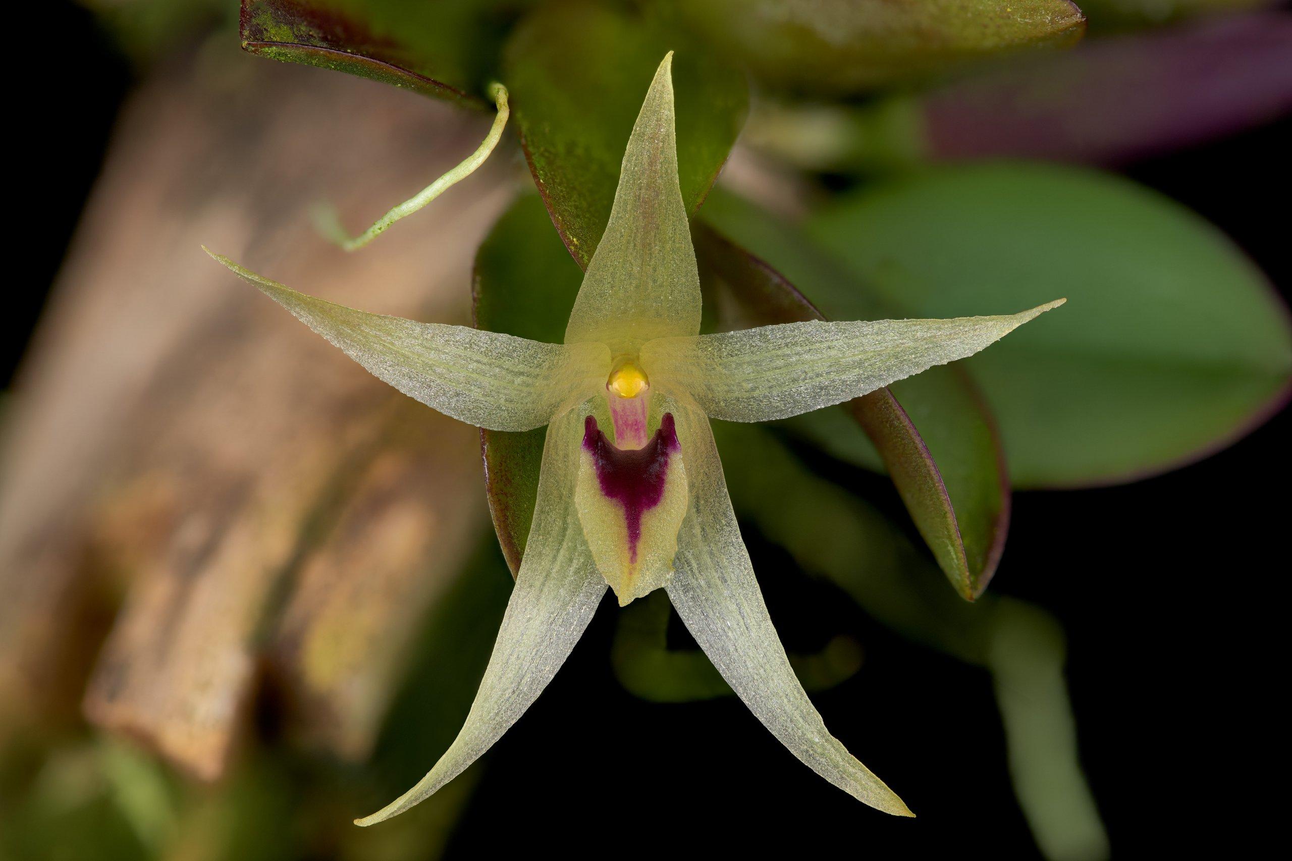 Octomeria estrellensis flower.jpg